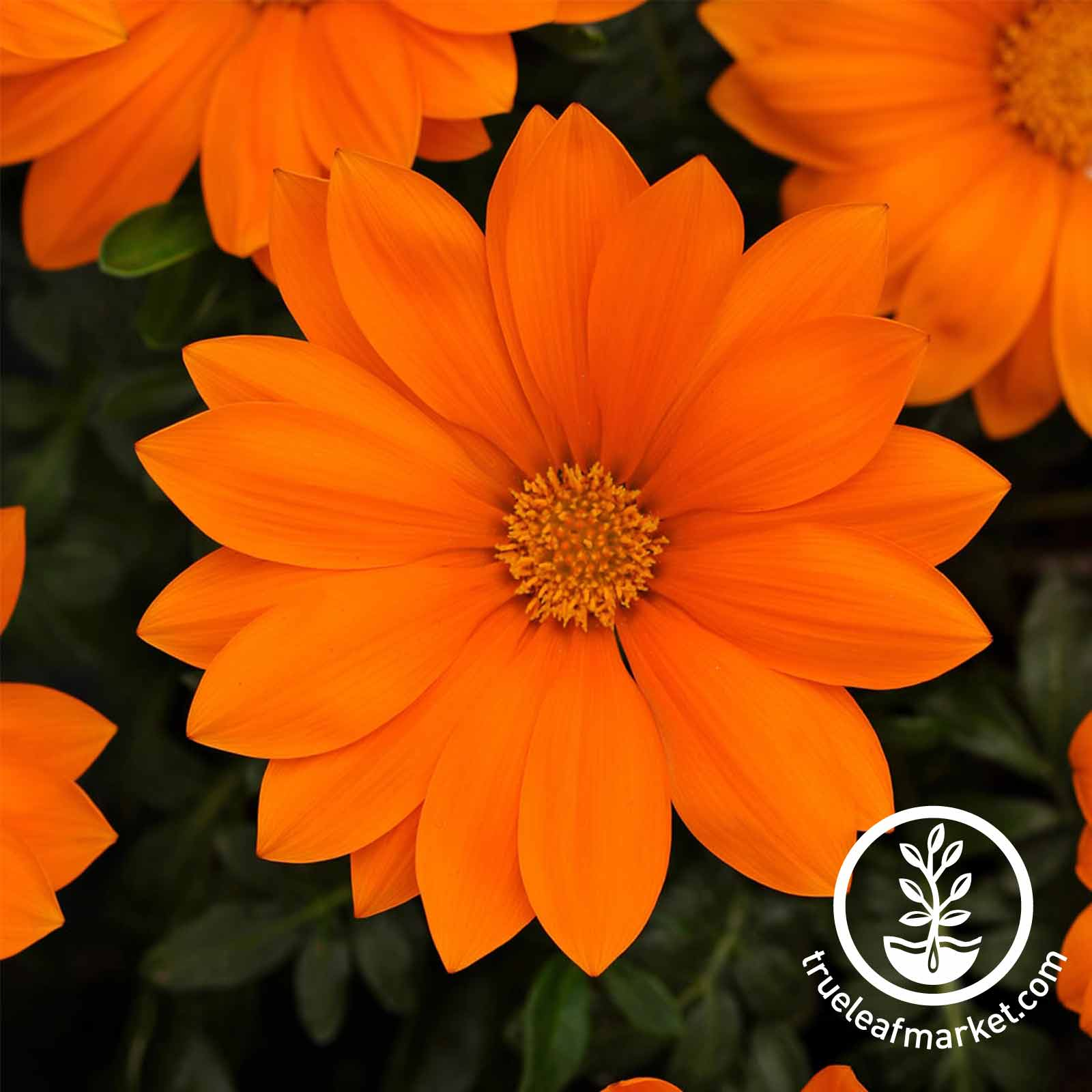 Gazania New Day Series Clear Orange Seed