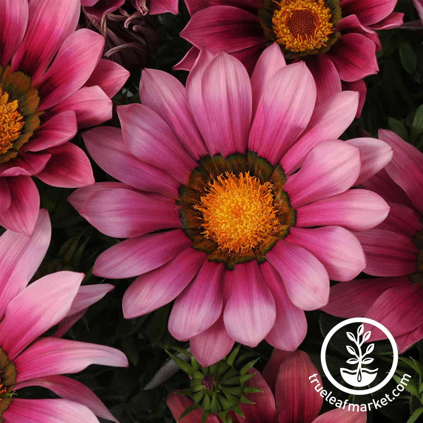 Gazania New Day Series Pink Shades Seed