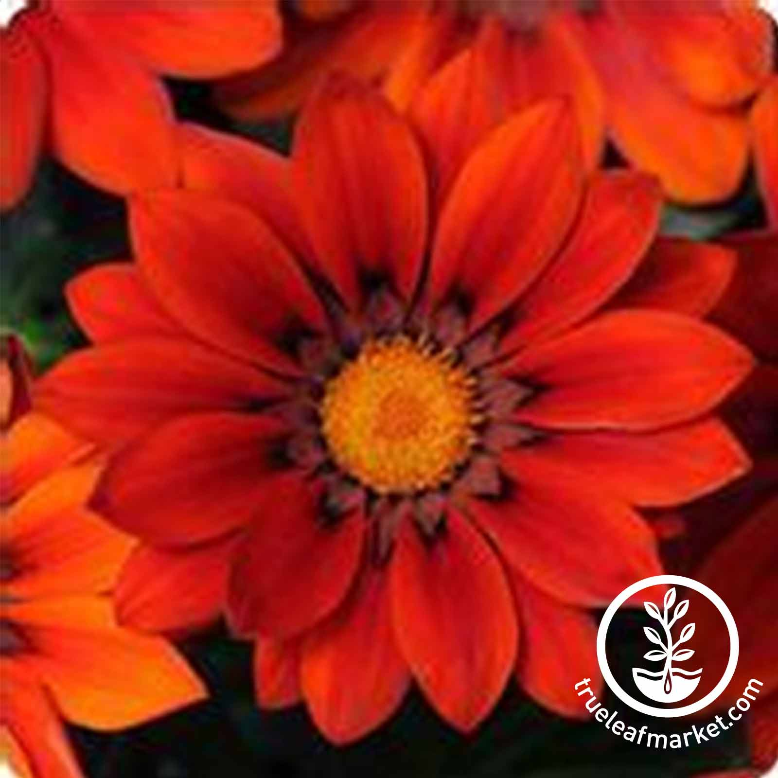 Gazania New Day Series Red Shades Seed