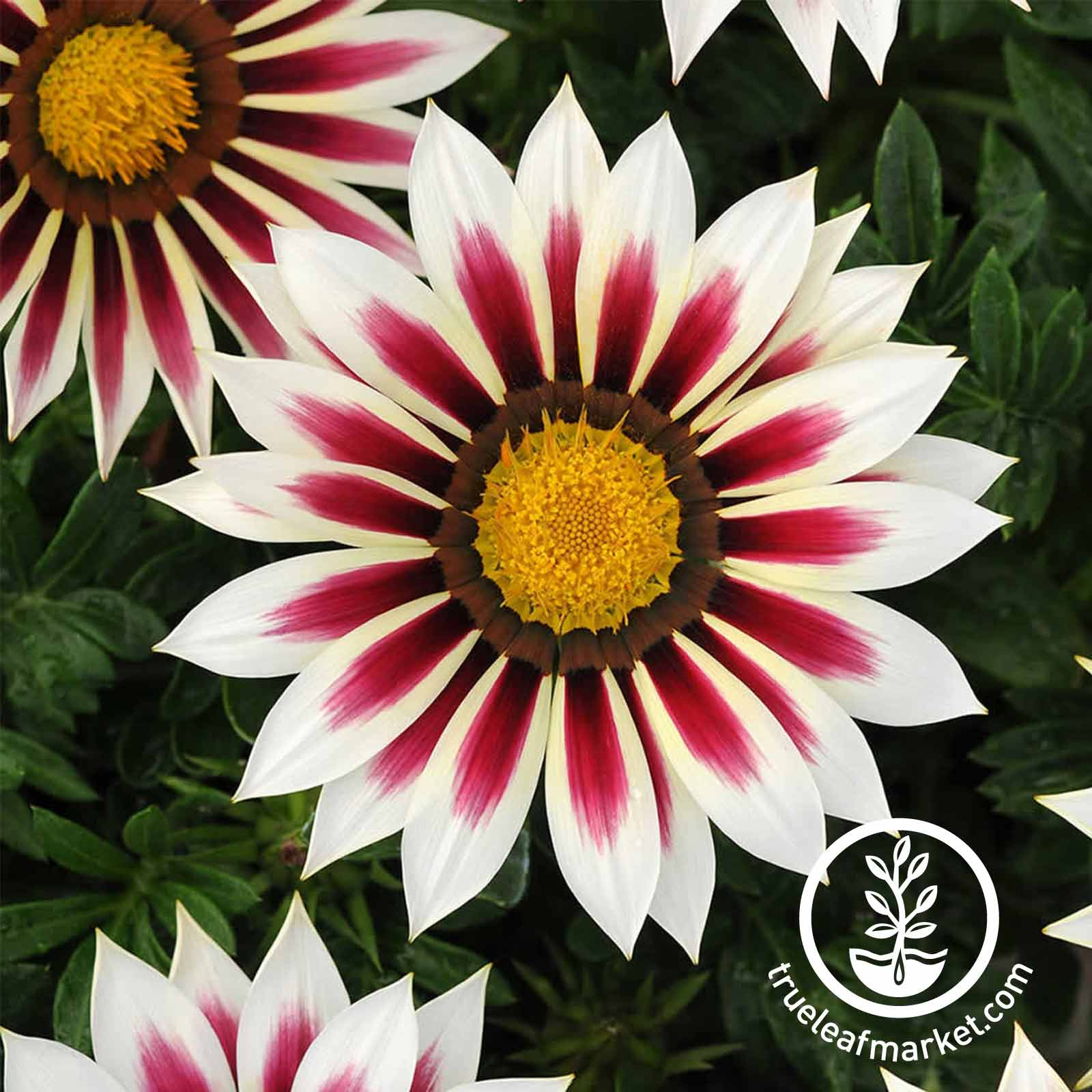 Gazania New Day Series Rose Stripe Seed