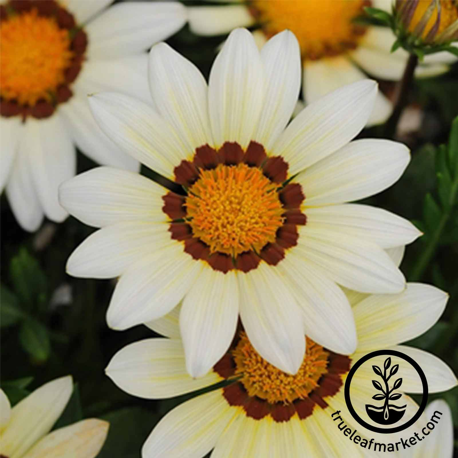 Gazania New Day Series White Seed