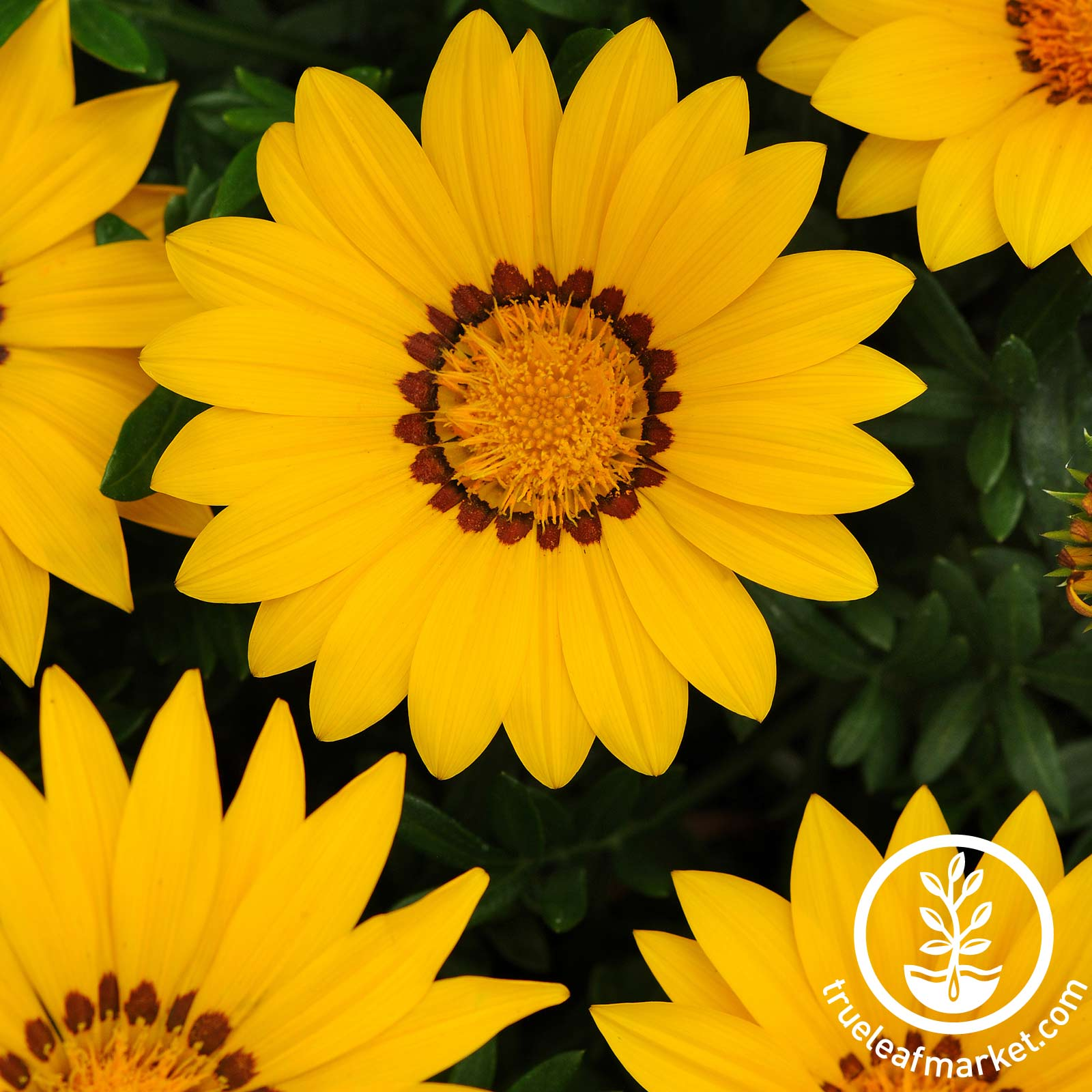 Gazania New Day Series Yellow Seed