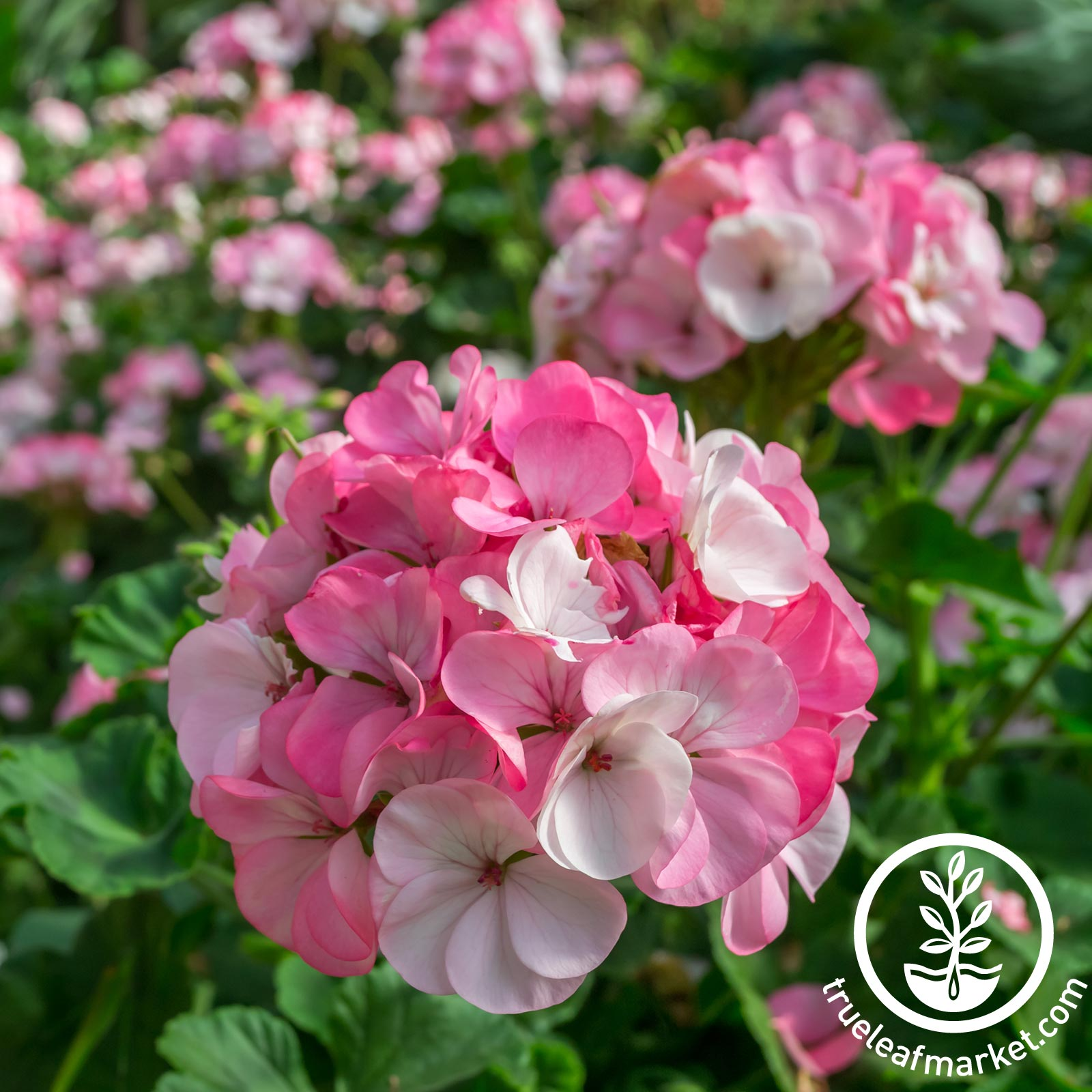 Geranium Pinto Premium Series White to Rose Seed