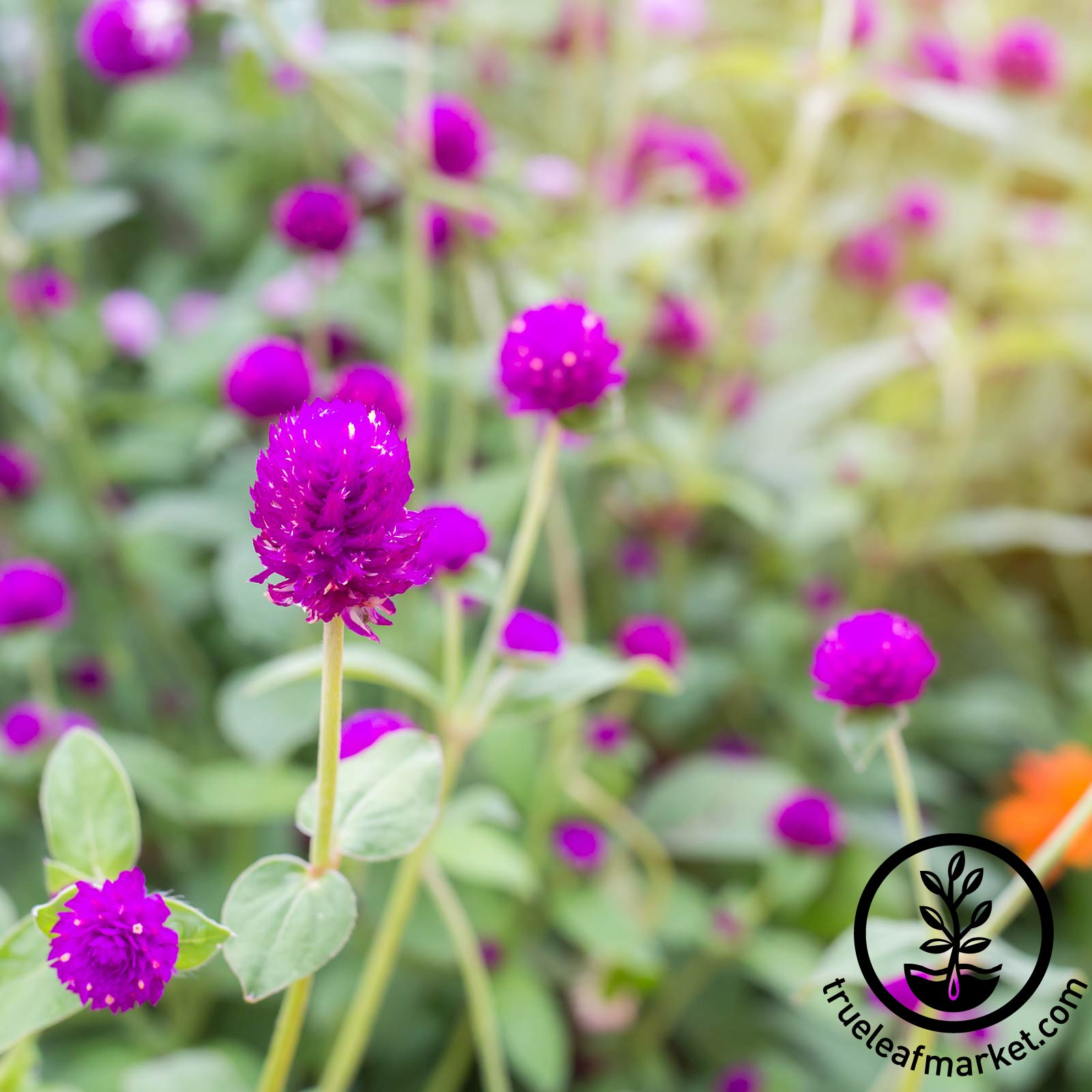 Gomphrena Gnome Series Purple Seed