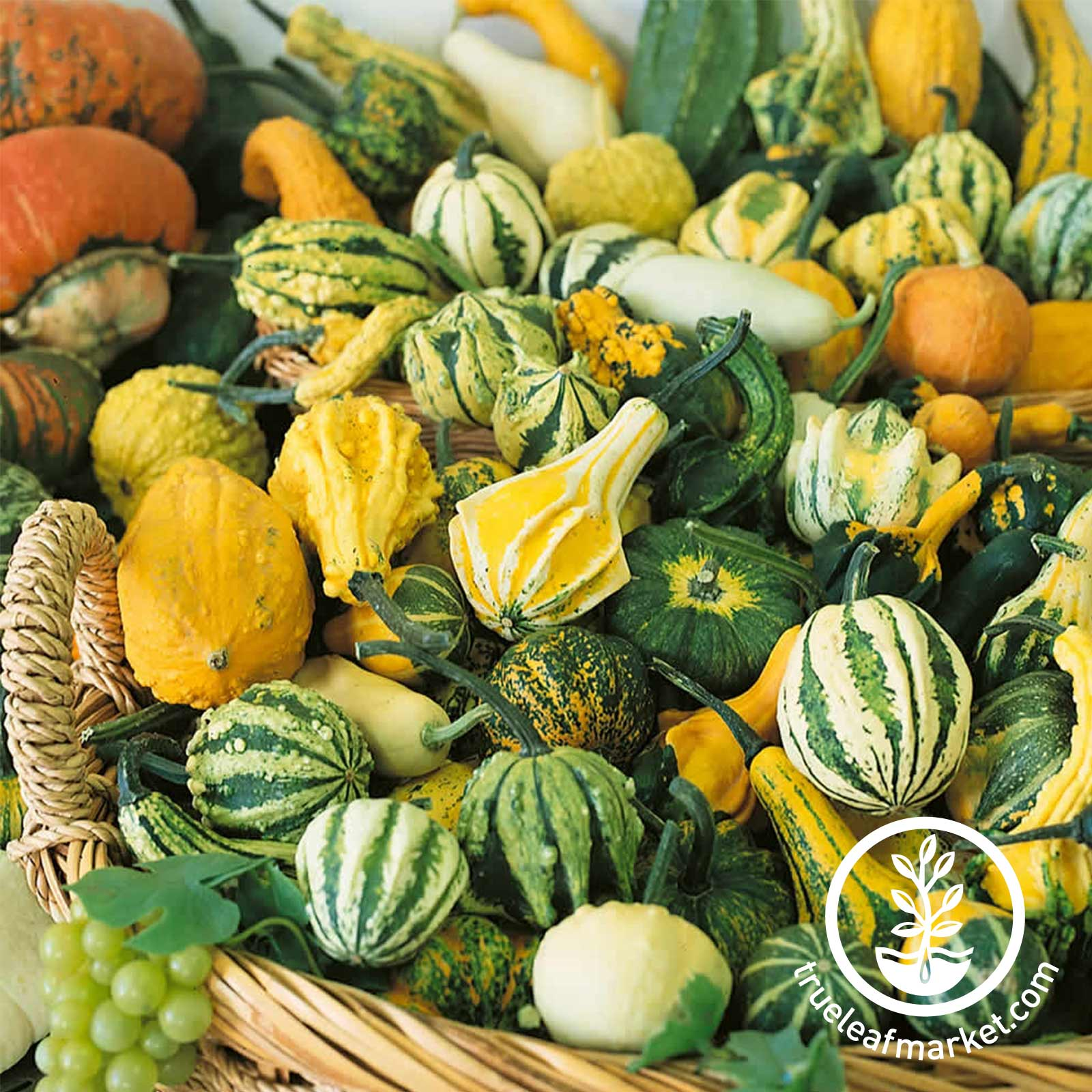 Gourds Small Mix Seed