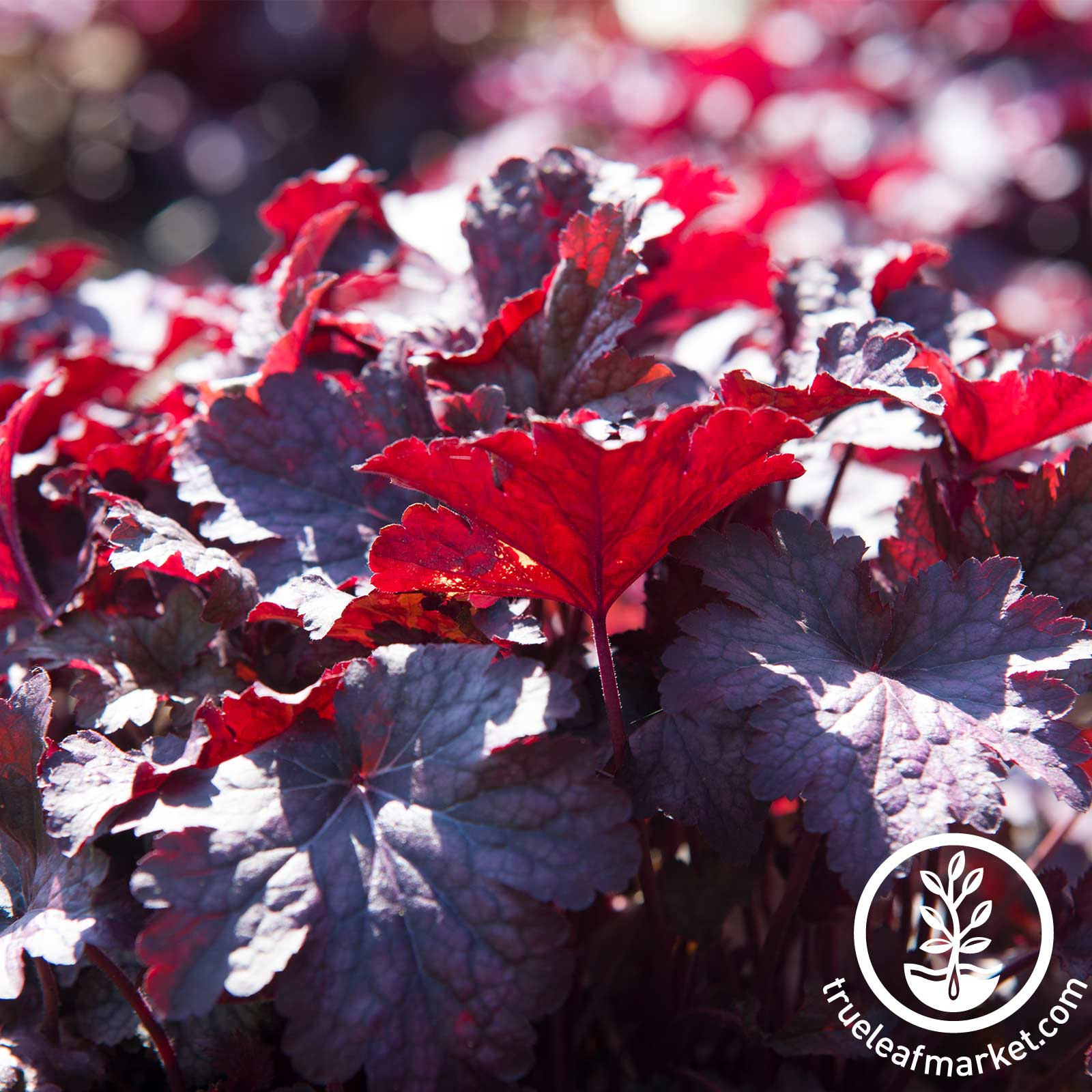 Heuchera Melting Fire Plant Seed