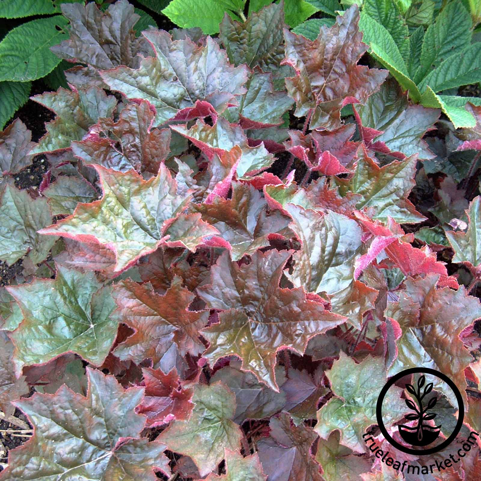 Heuchera Purple Palace Seed