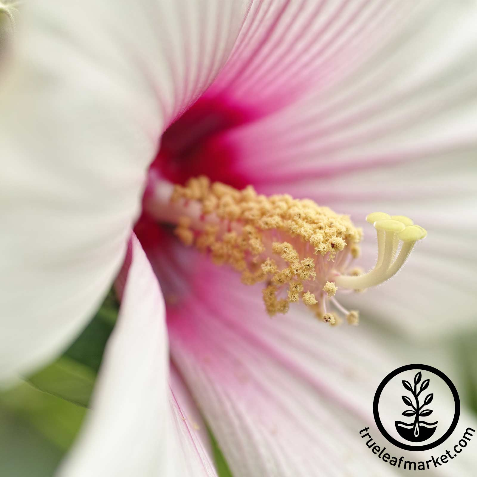 Hibiscus Luna Series Blush Flower Seed