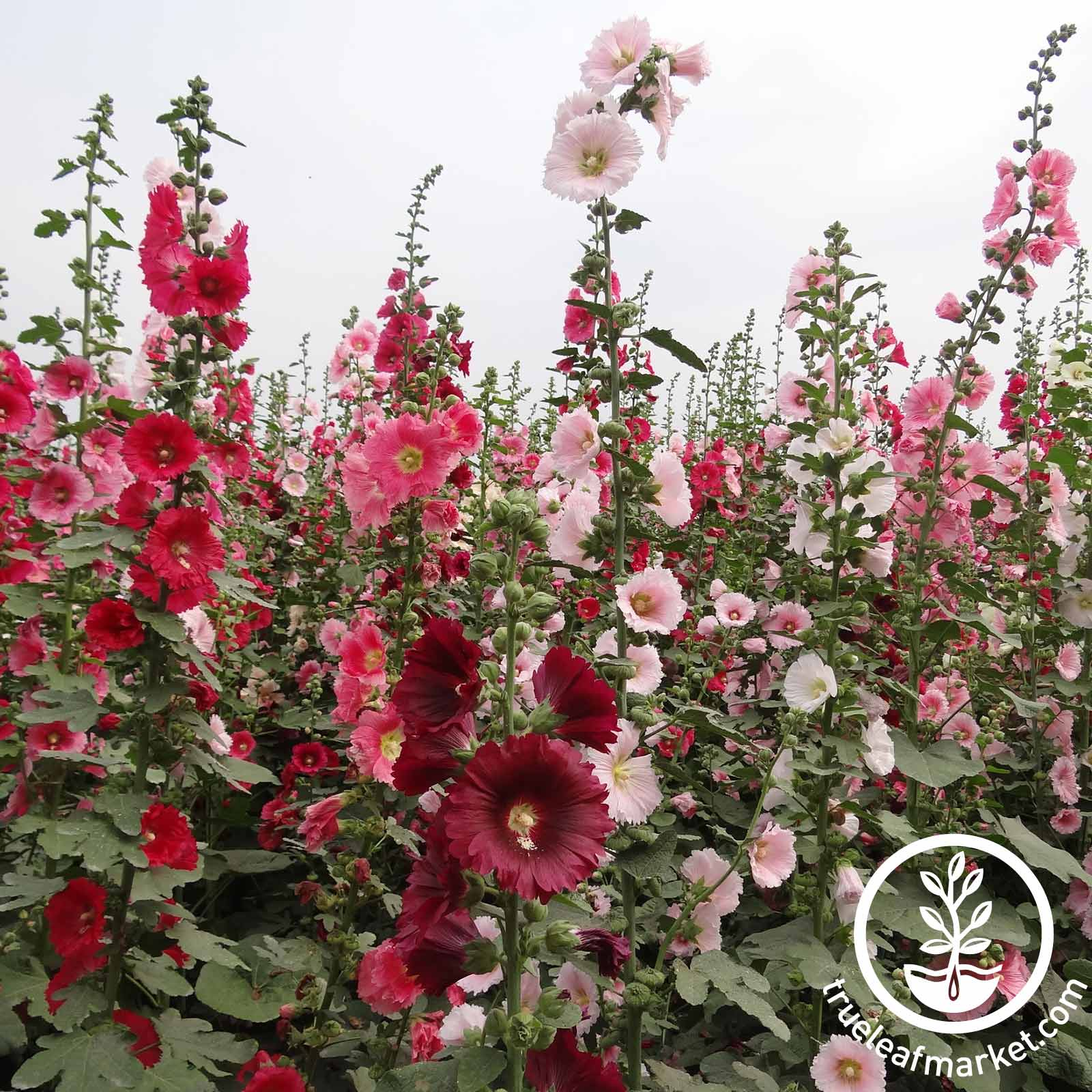 Hollyhock Powderpuffs Double Mix Seed