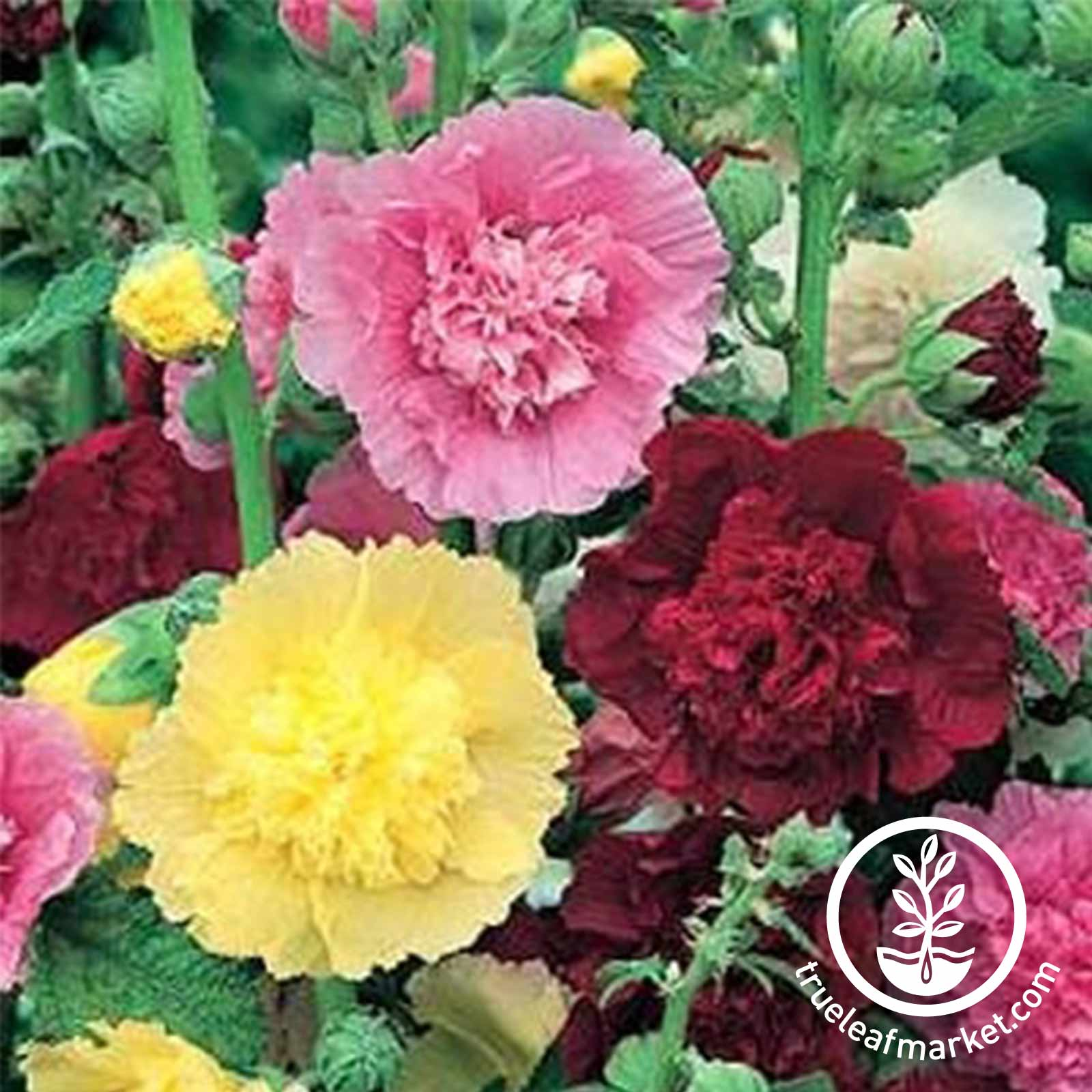 Hollyhock Summer Carnival Mix Seed