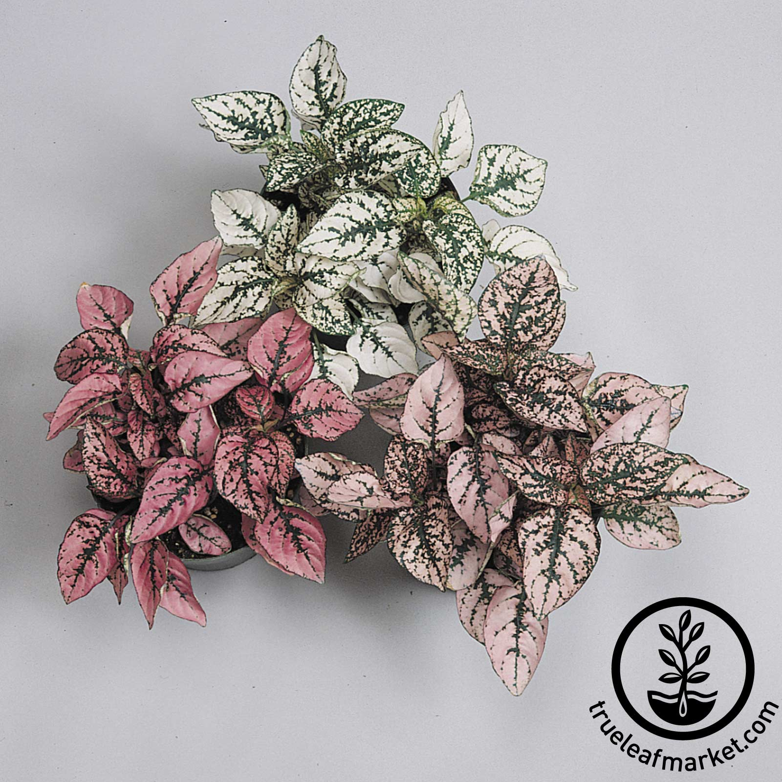 Hypoestes Splash Select Series Pink Plant Seeds