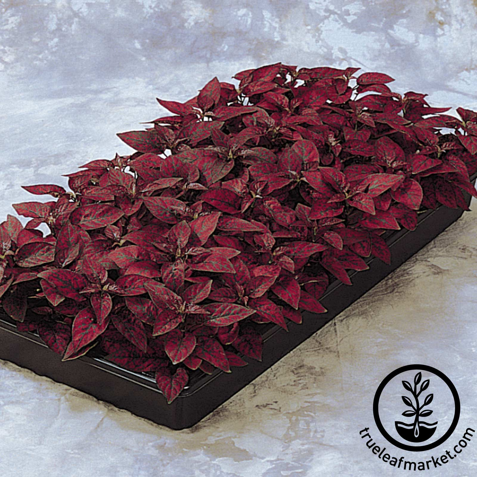 Hypoestes Splash Select Series Red Seed