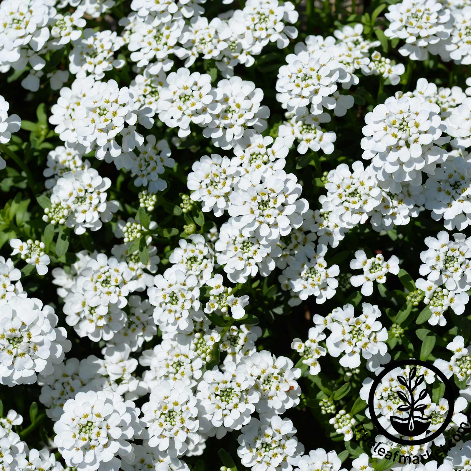 Iberis Candytuft Dwarf Fairy Mixture Seed