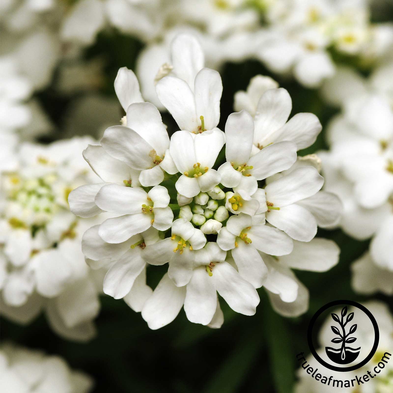 Iberis (Candytuft) - Whiteout flower seeds, annuals, iberis seeds, candytuft seeds, dwarf fairy mixture