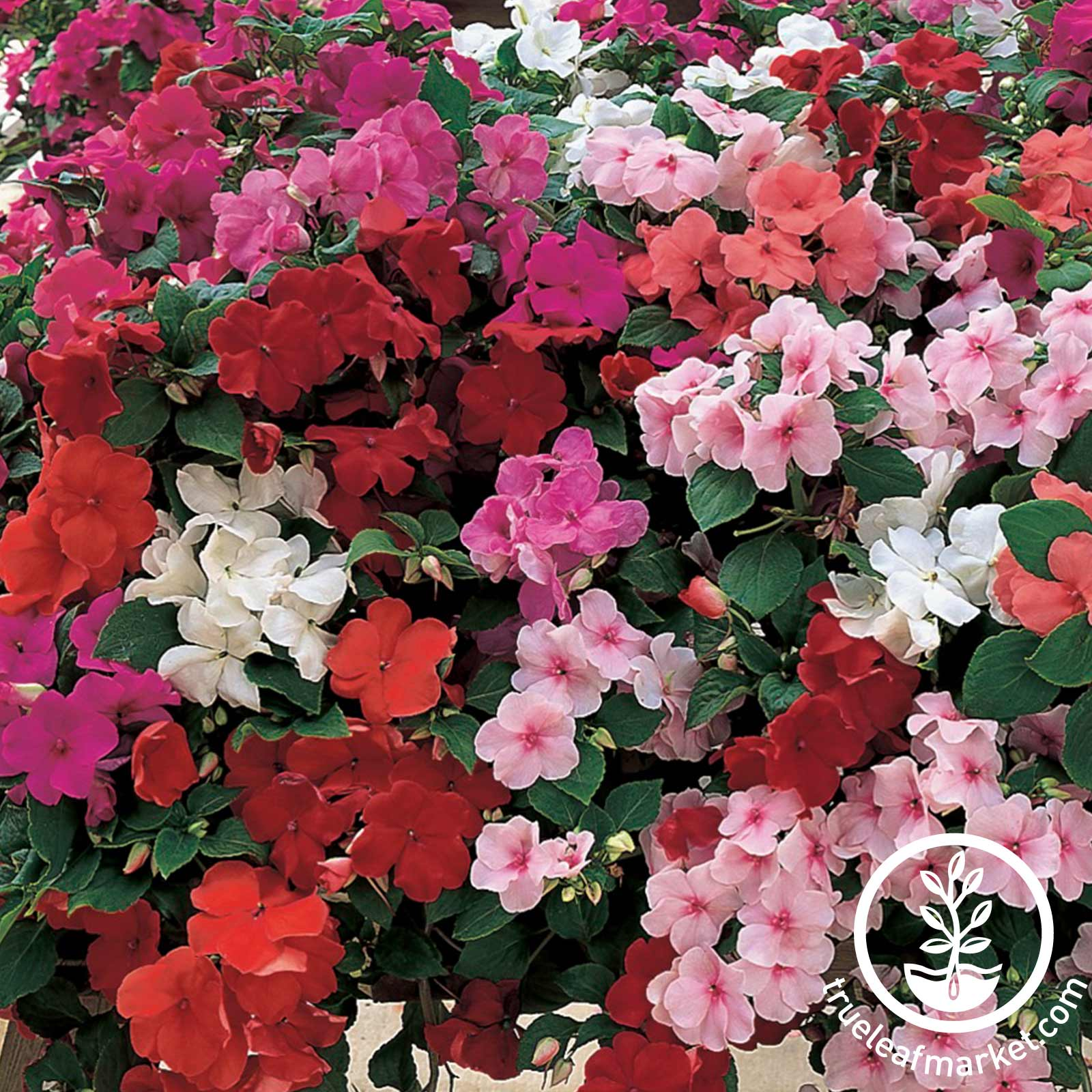 Impatiens - Accent Series - Mixture