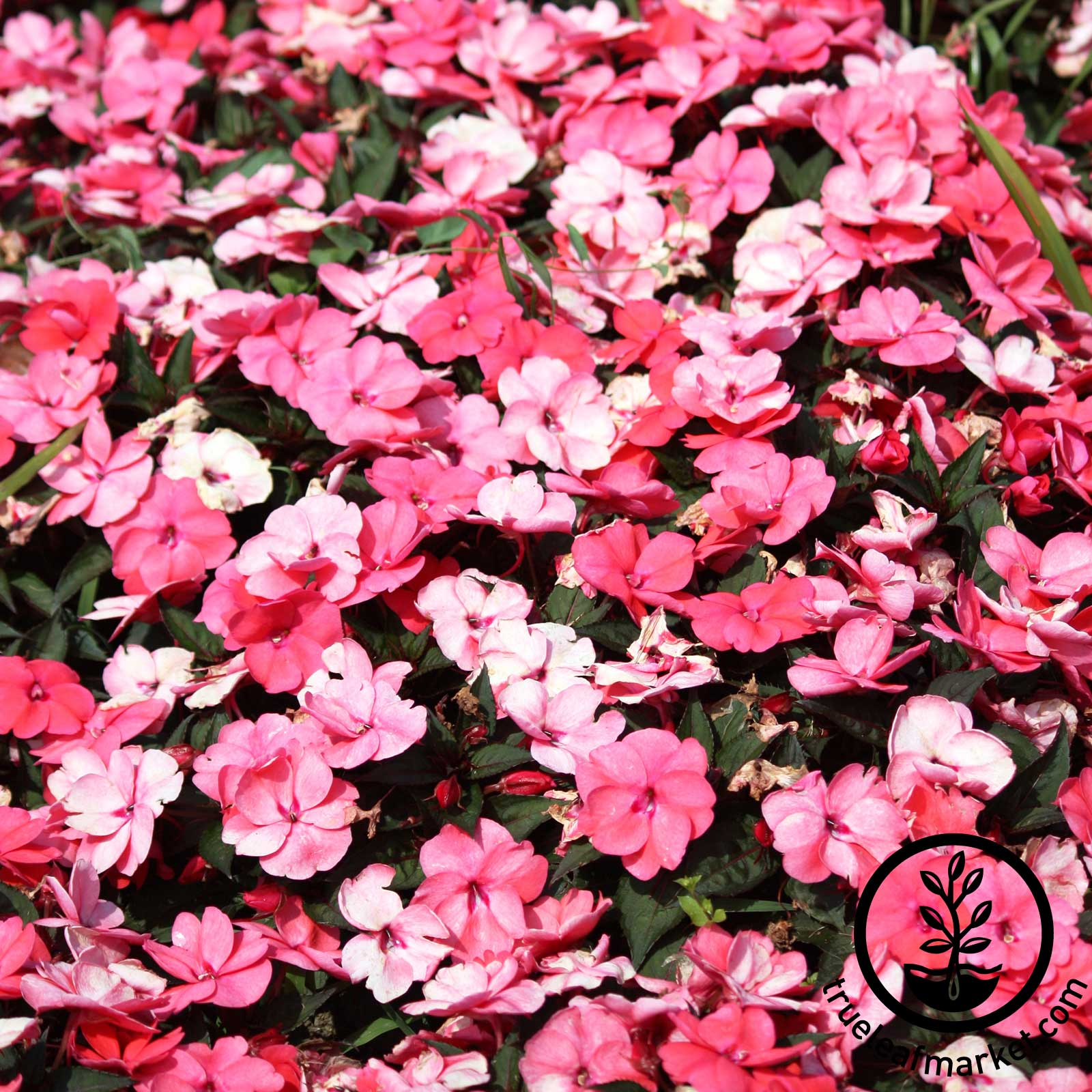 Impatiens - Accent Series - Peppermint Mix