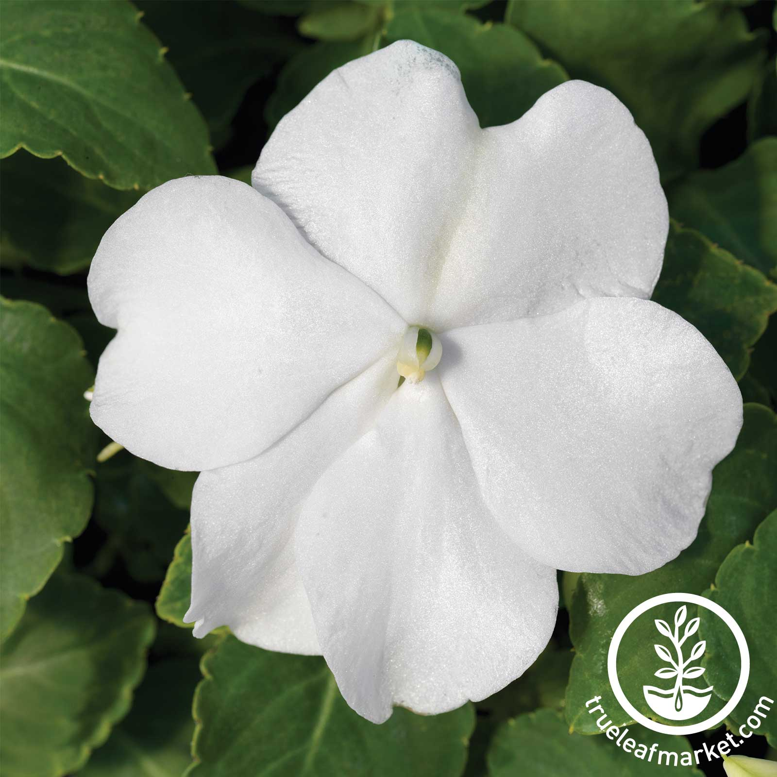 Impatiens Accent Series White Flower Seed
