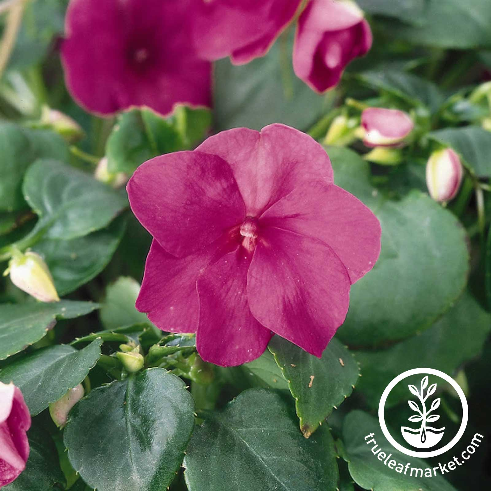 Impatiens Accent Series Violet Seed