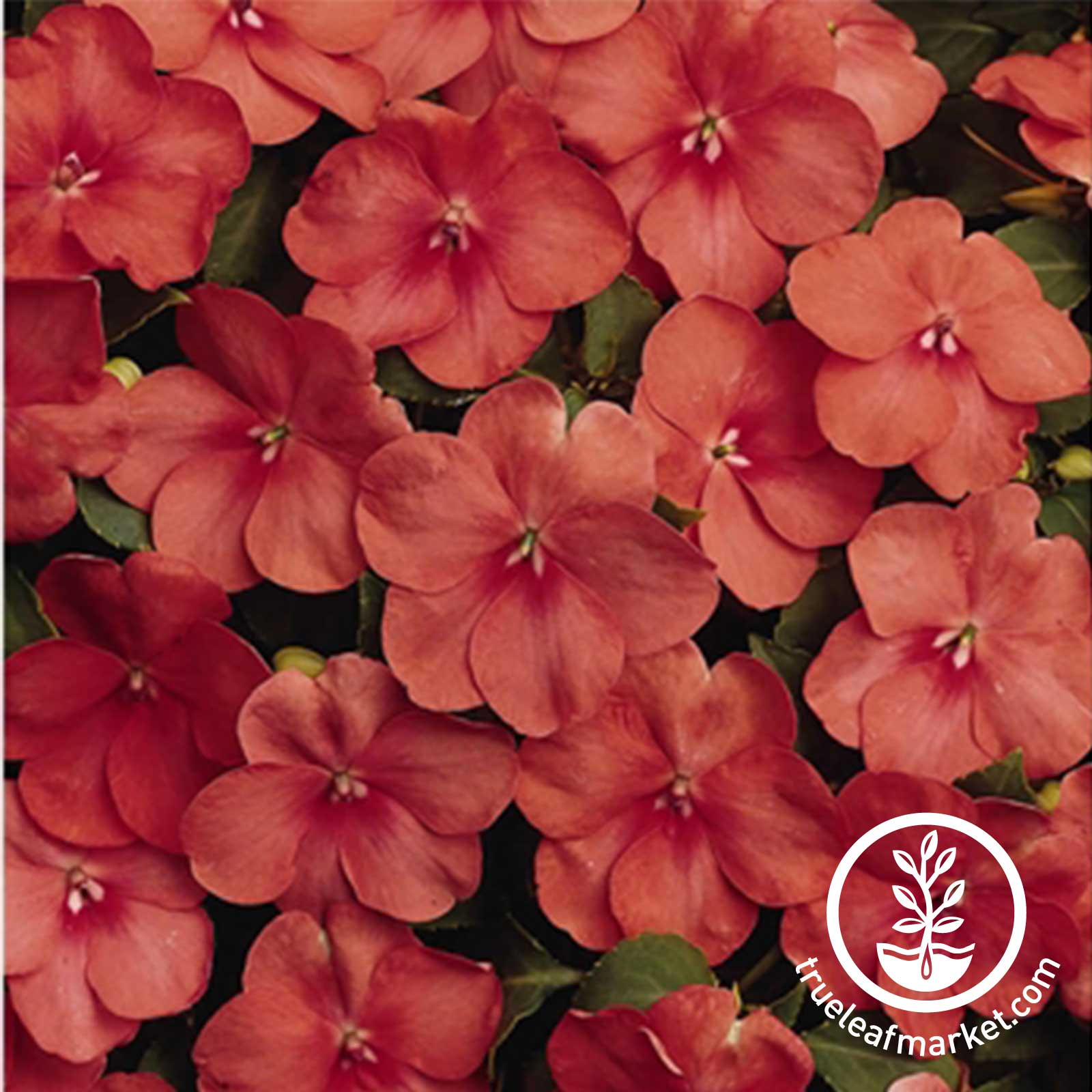 Impatiens Dazzler Series Apricot Seed