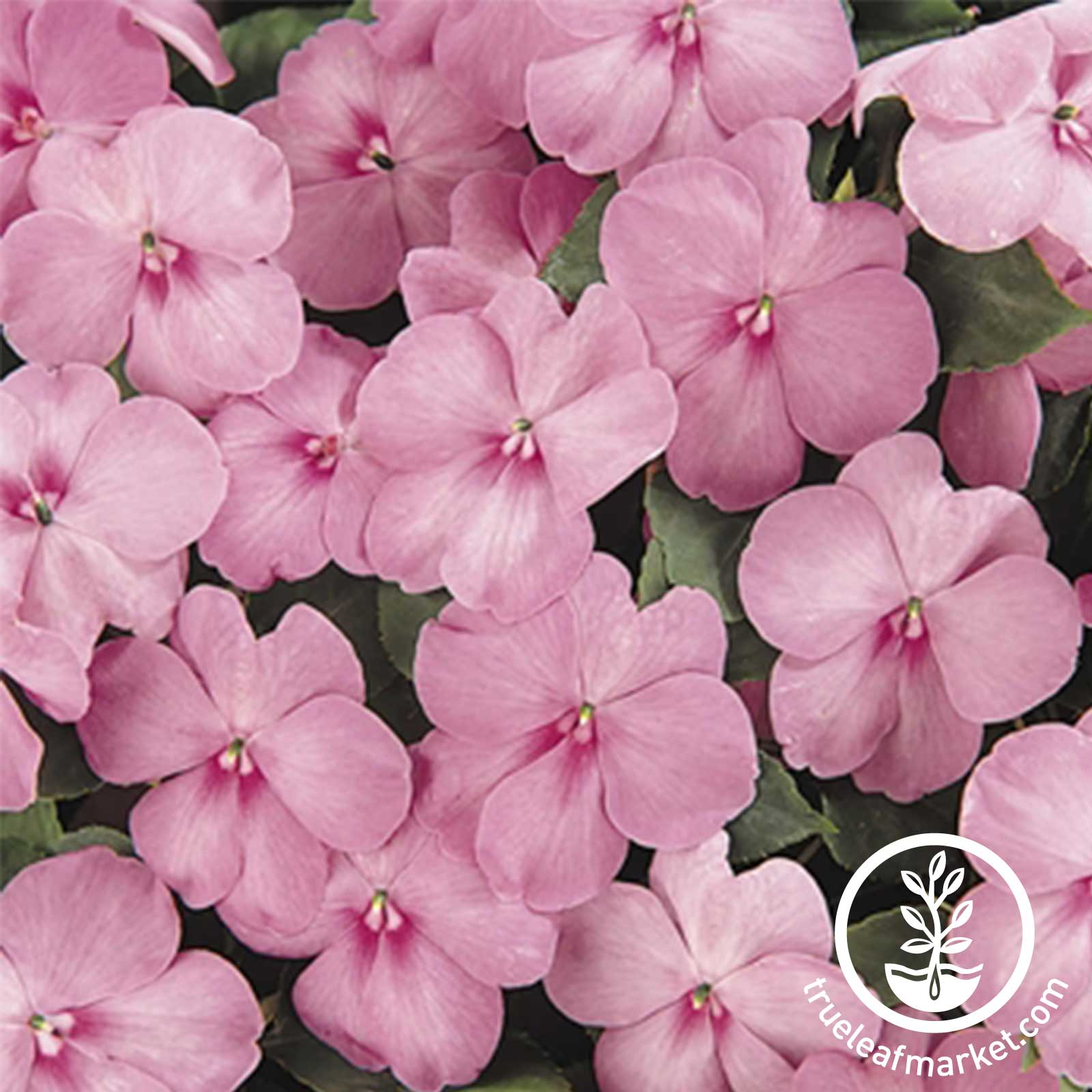 Impatiens Dazzler Series Blue Pearl Seed