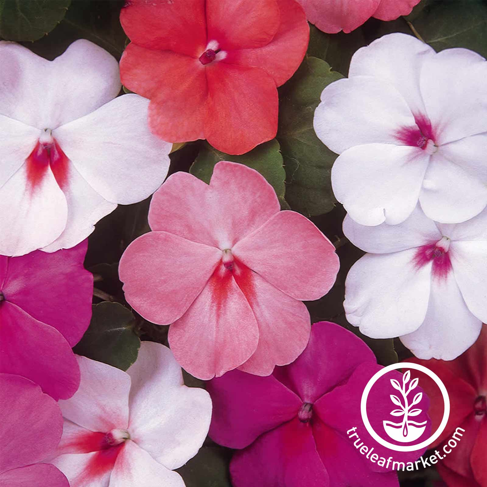 Impatiens Dazzler Series Peacock Mix Seed