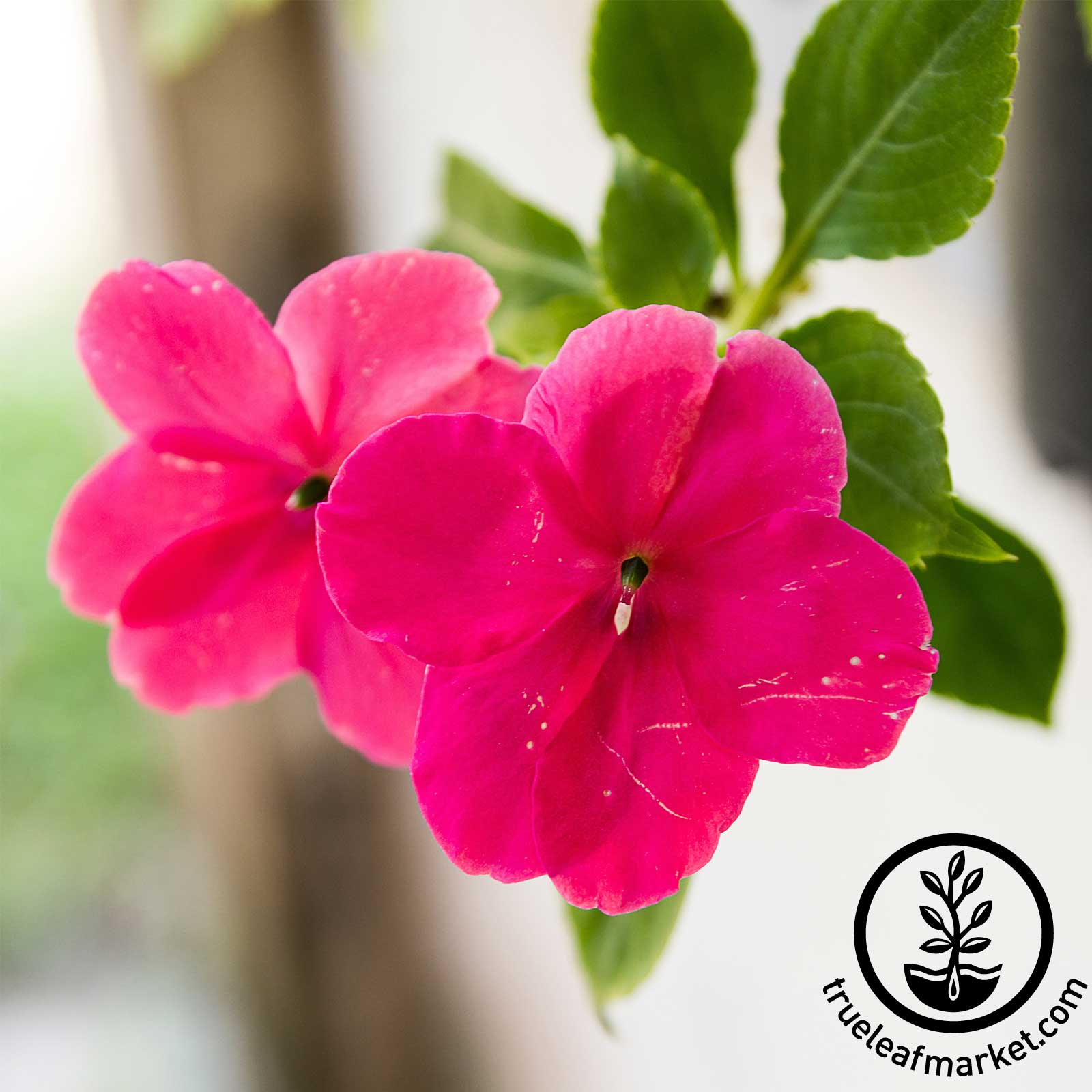 Impatiens Dazzler Series Punch Seed