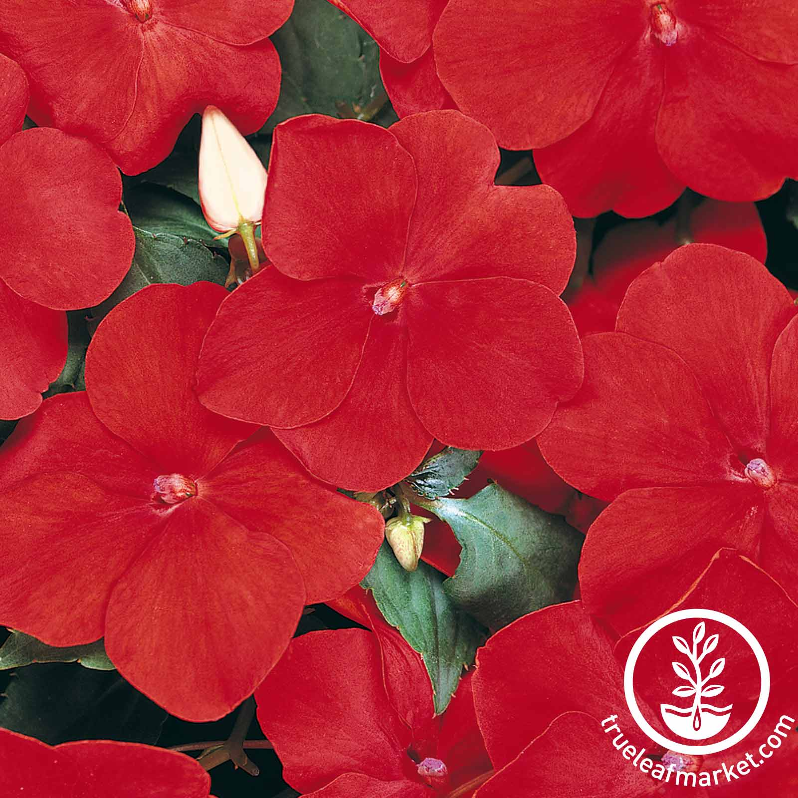 Impatiens Dazzler Series Red Seed