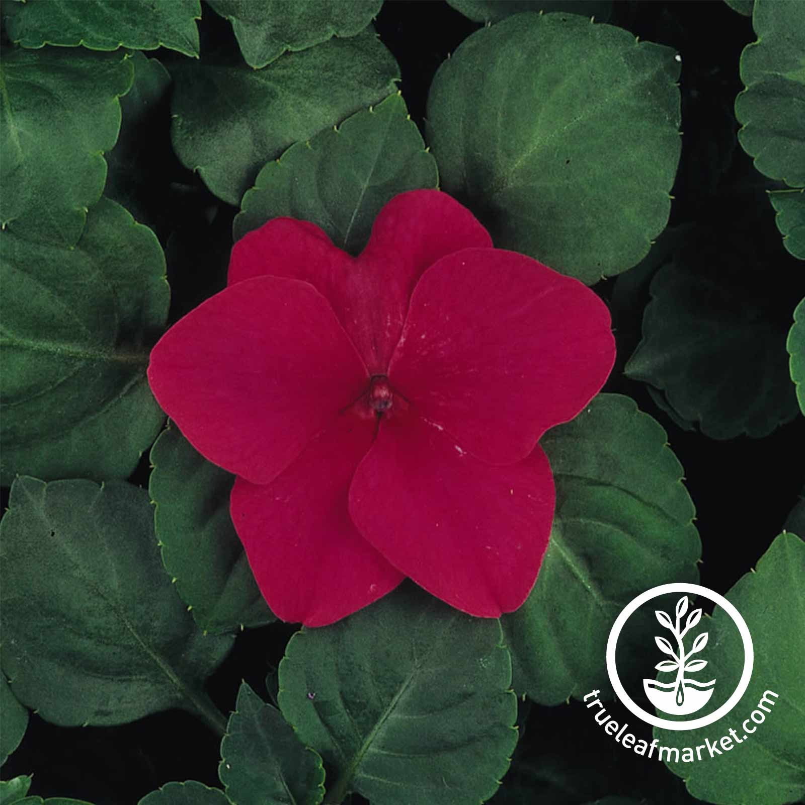 Impatiens Dazzler Series Rose Seed