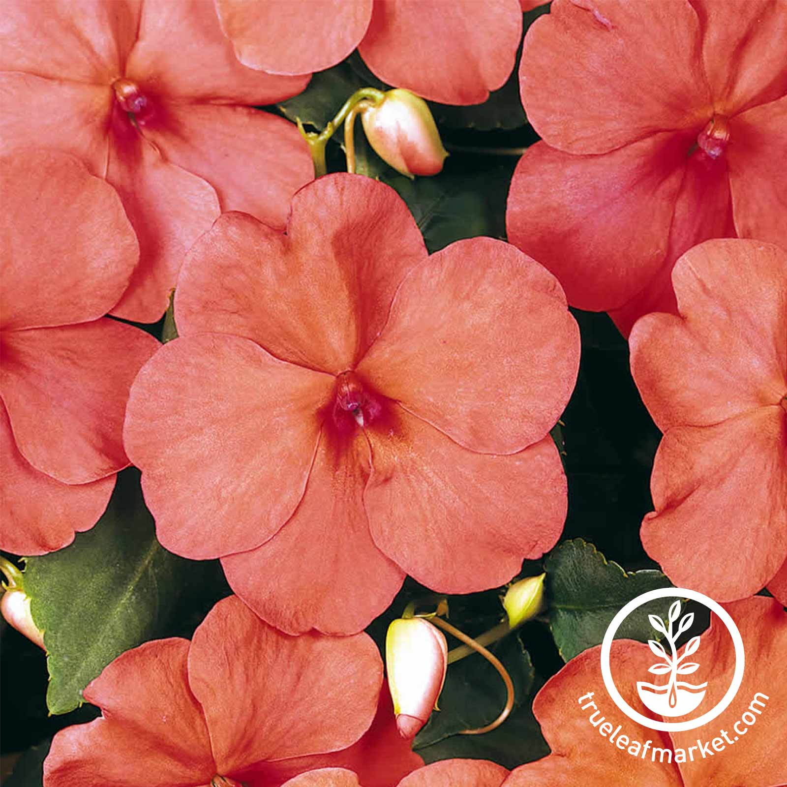 Impatiens Dazzler Series Salmon Seed