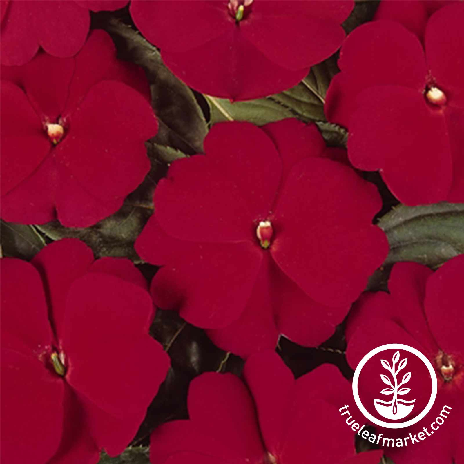 Impatiens New Guinea Divine Series Cherry Red Seed
