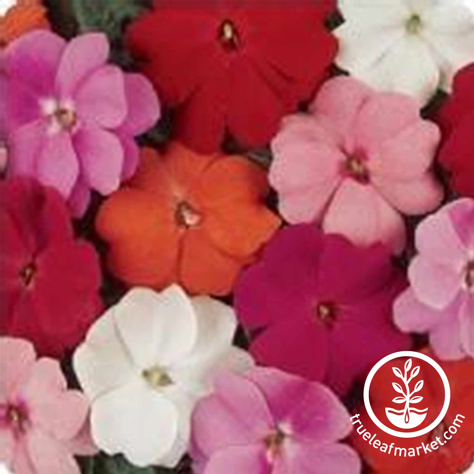 Impatiens New Guinea Divine Series Mix Seed