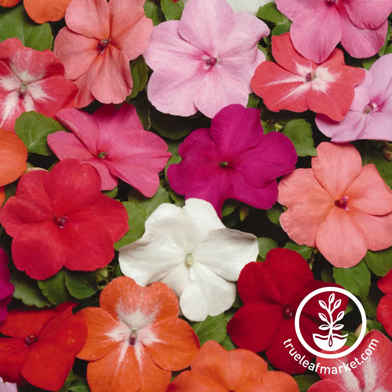 Impatiens - Super Elfin XP Series - Mix