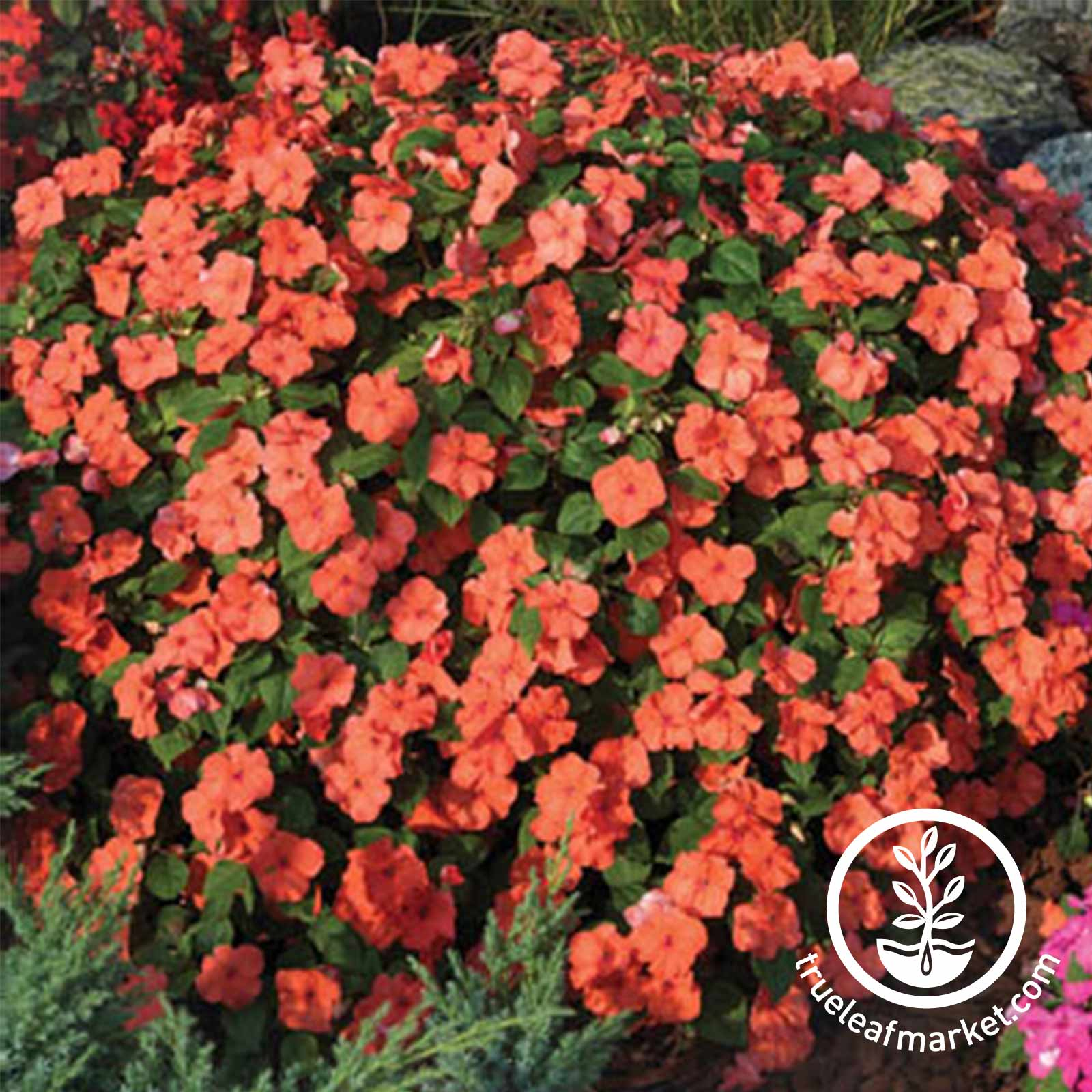Impatiens - Tumbler Series - Salmon