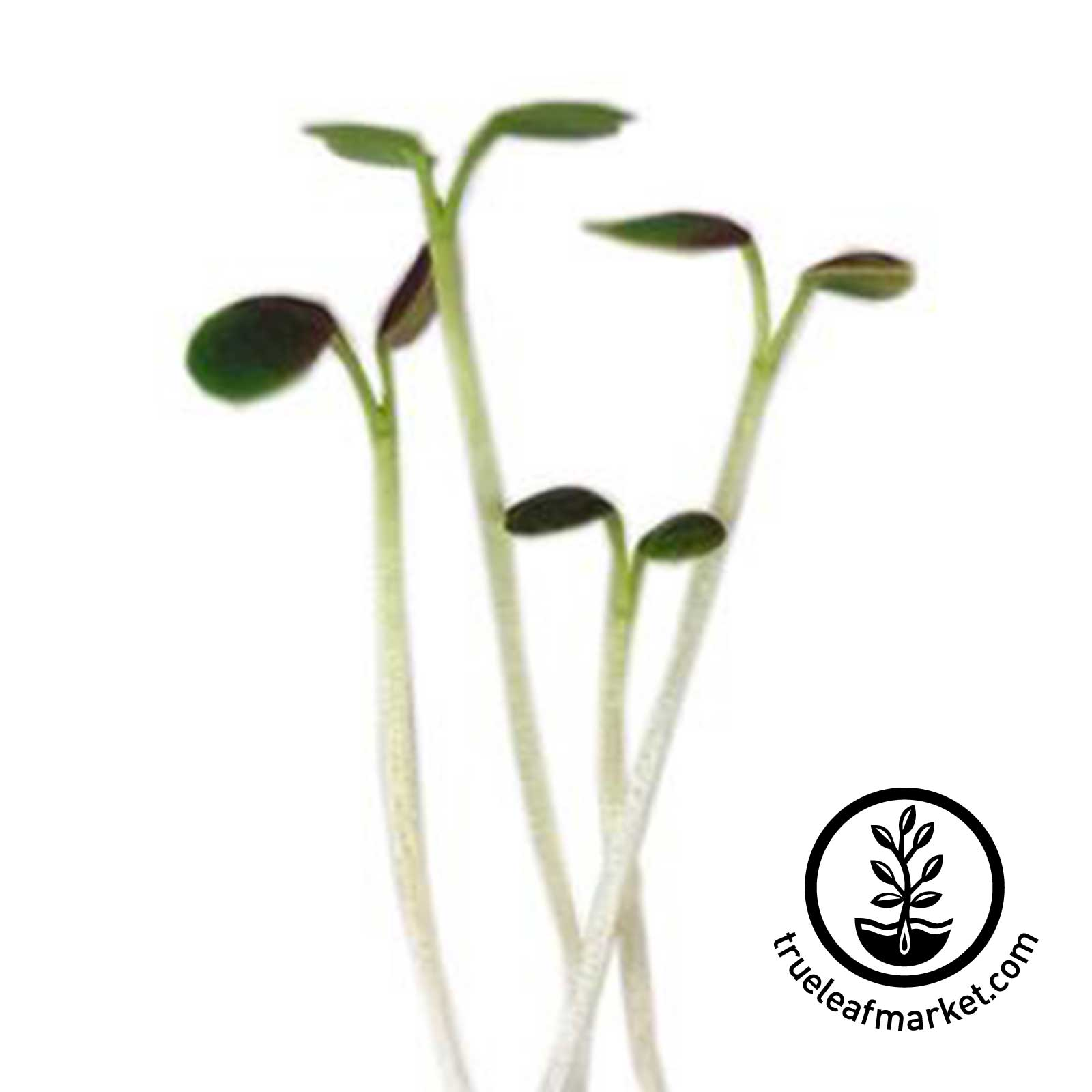 Red Komatsuna Microgreens Seeds komatsuna, red komatsuna, japanese mustard spinach, seeds, seed