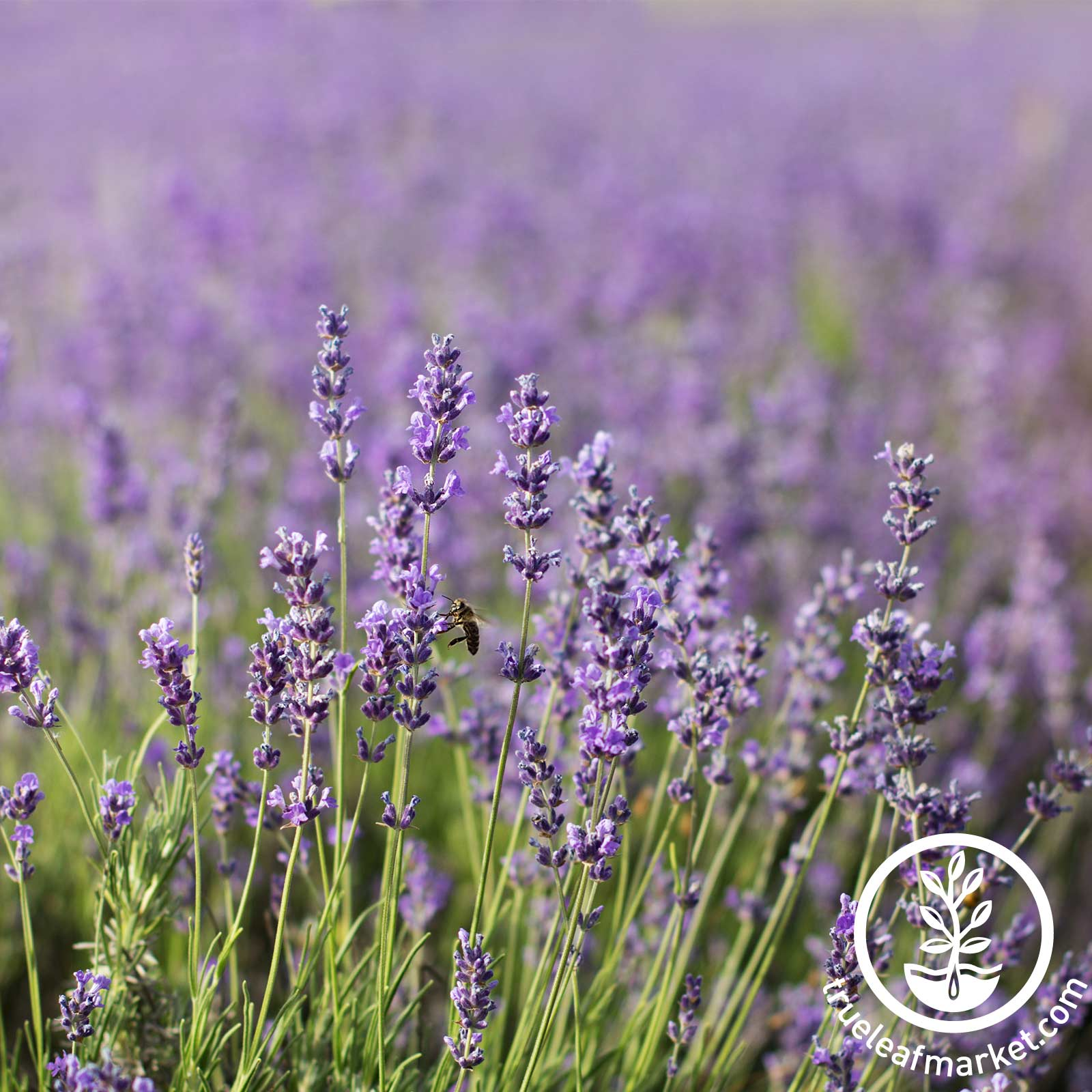 Lavender - Common English