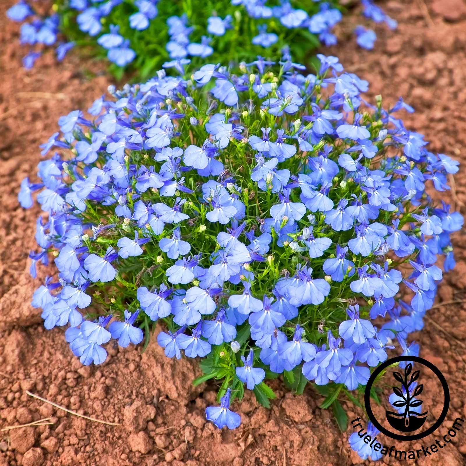 Lobelia Cambridge Blue Flowering Seed