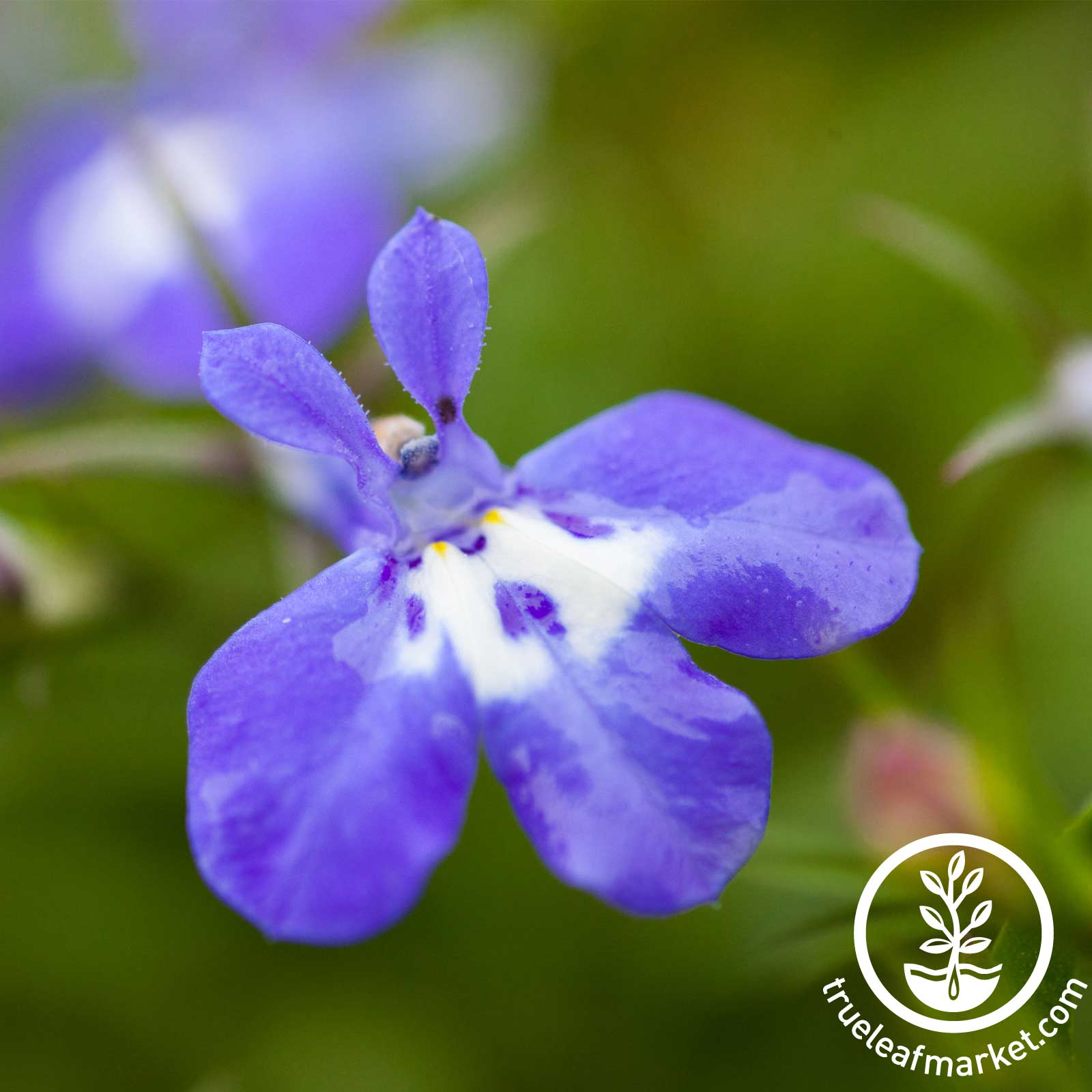 Lobelia Palace Series Blue with Eye Seed