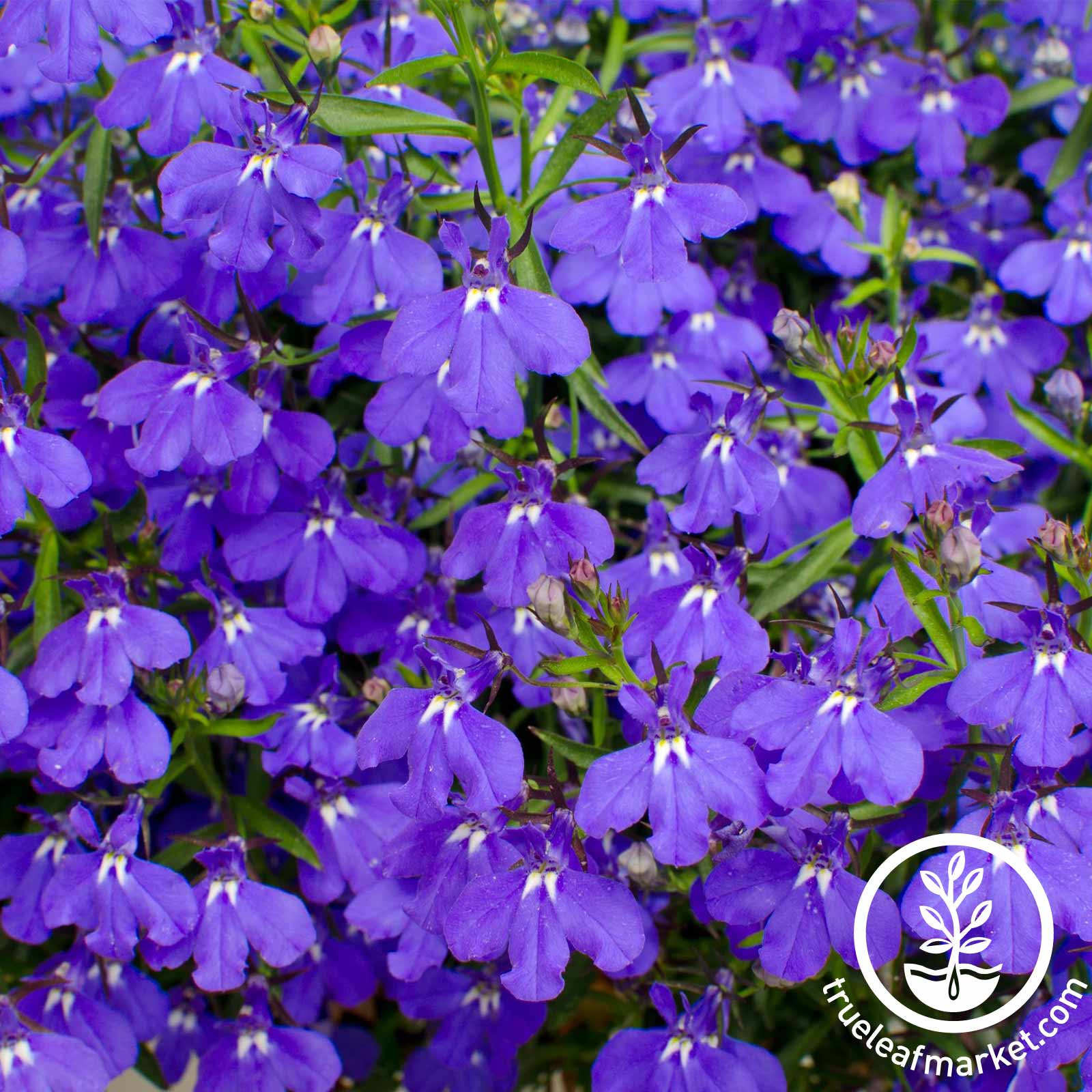 Lobelia Palace Series Blue Seed
