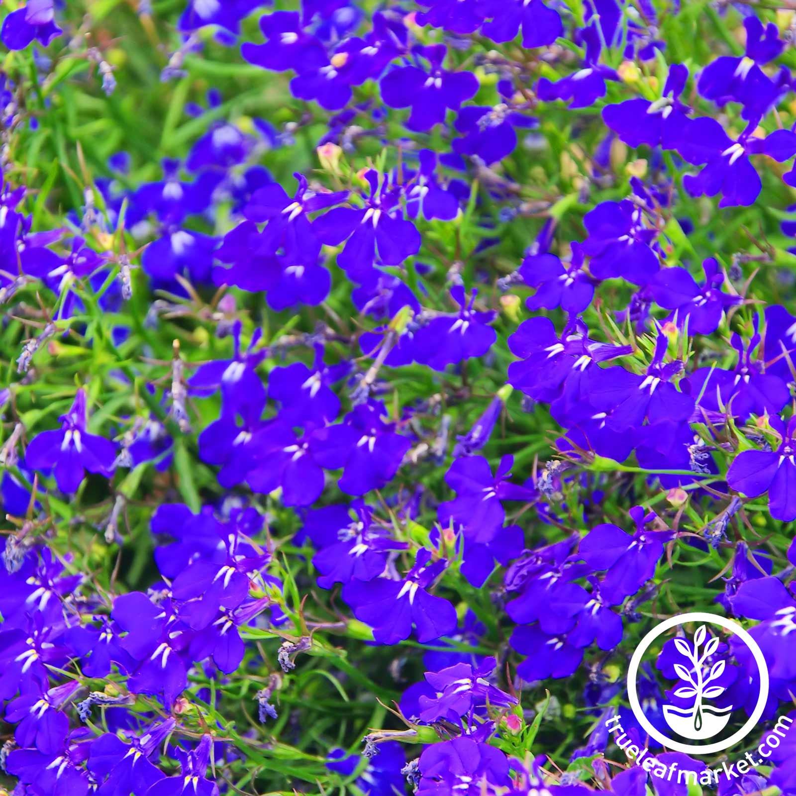 Lobelia Palace Series Royal Seeds