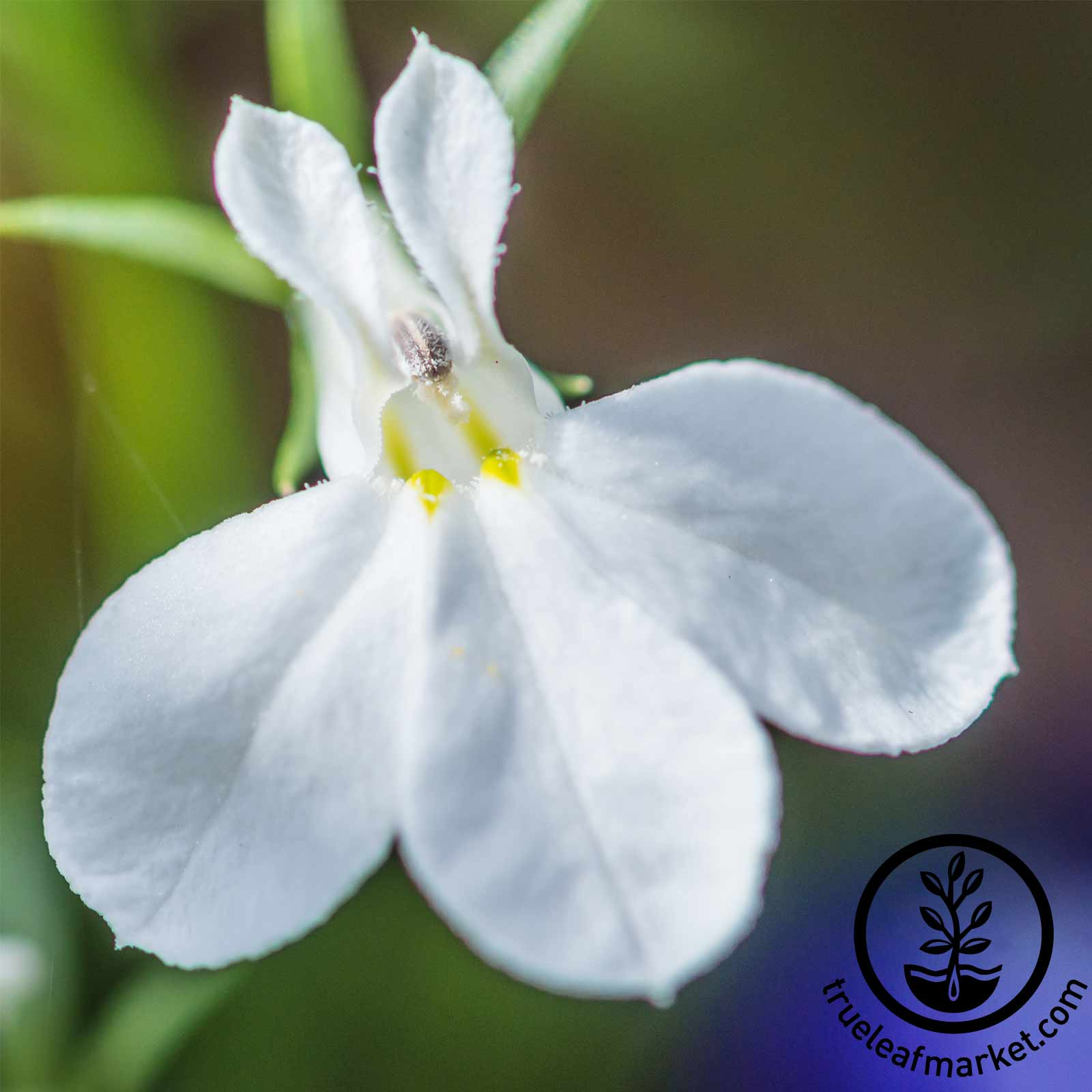 Lobelia Palace Series White Seed