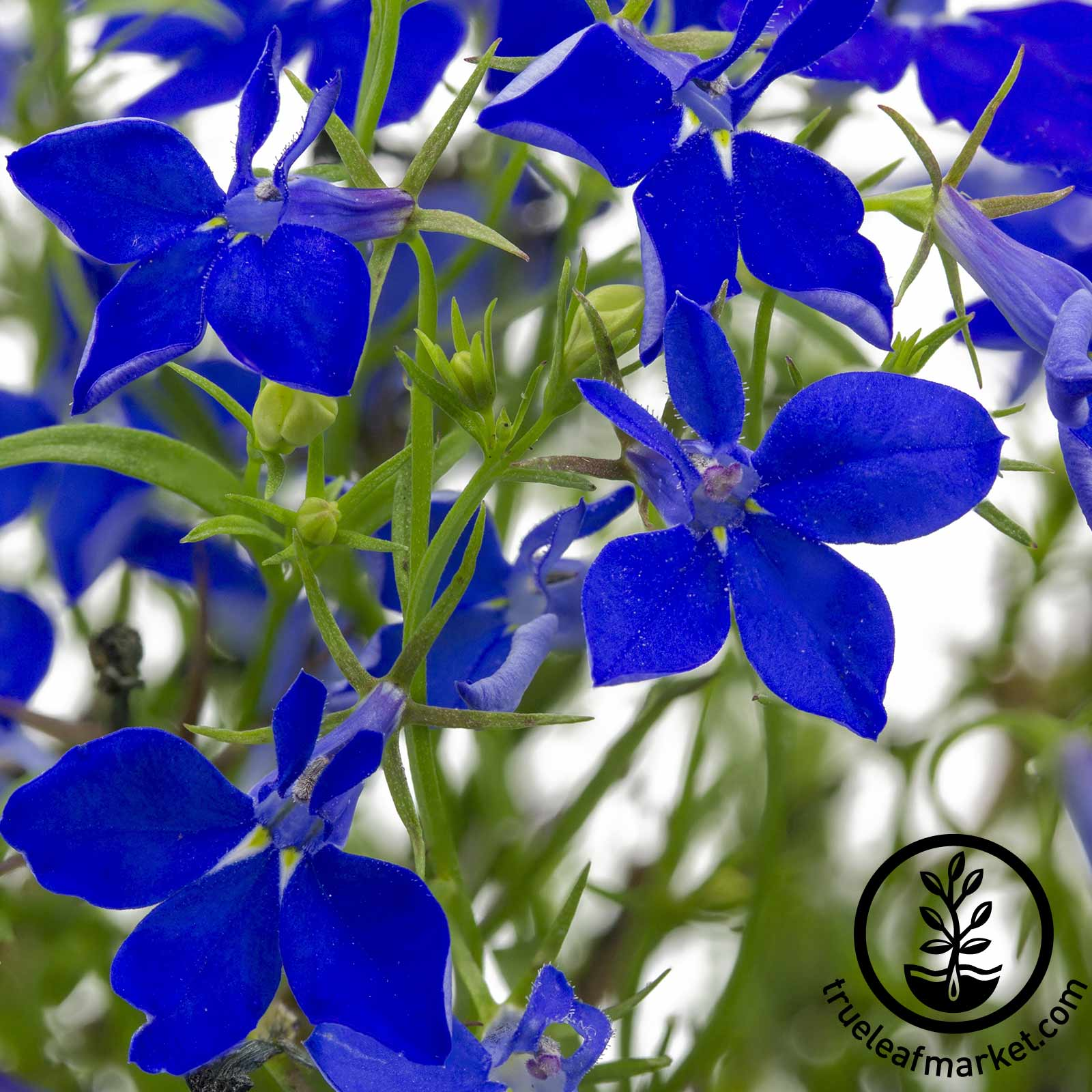 Lobelia Regatta Series Midnight Blue Seed