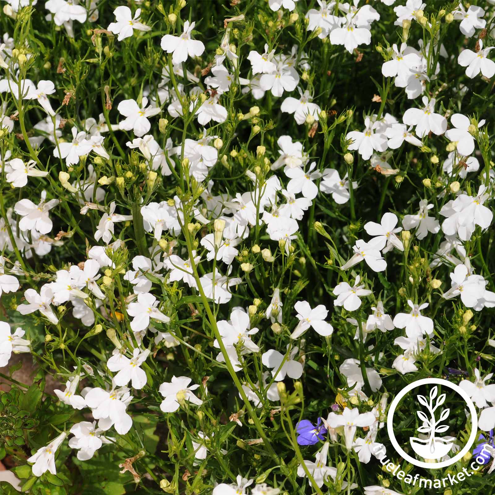 Lobelia Regatta Series White Seed