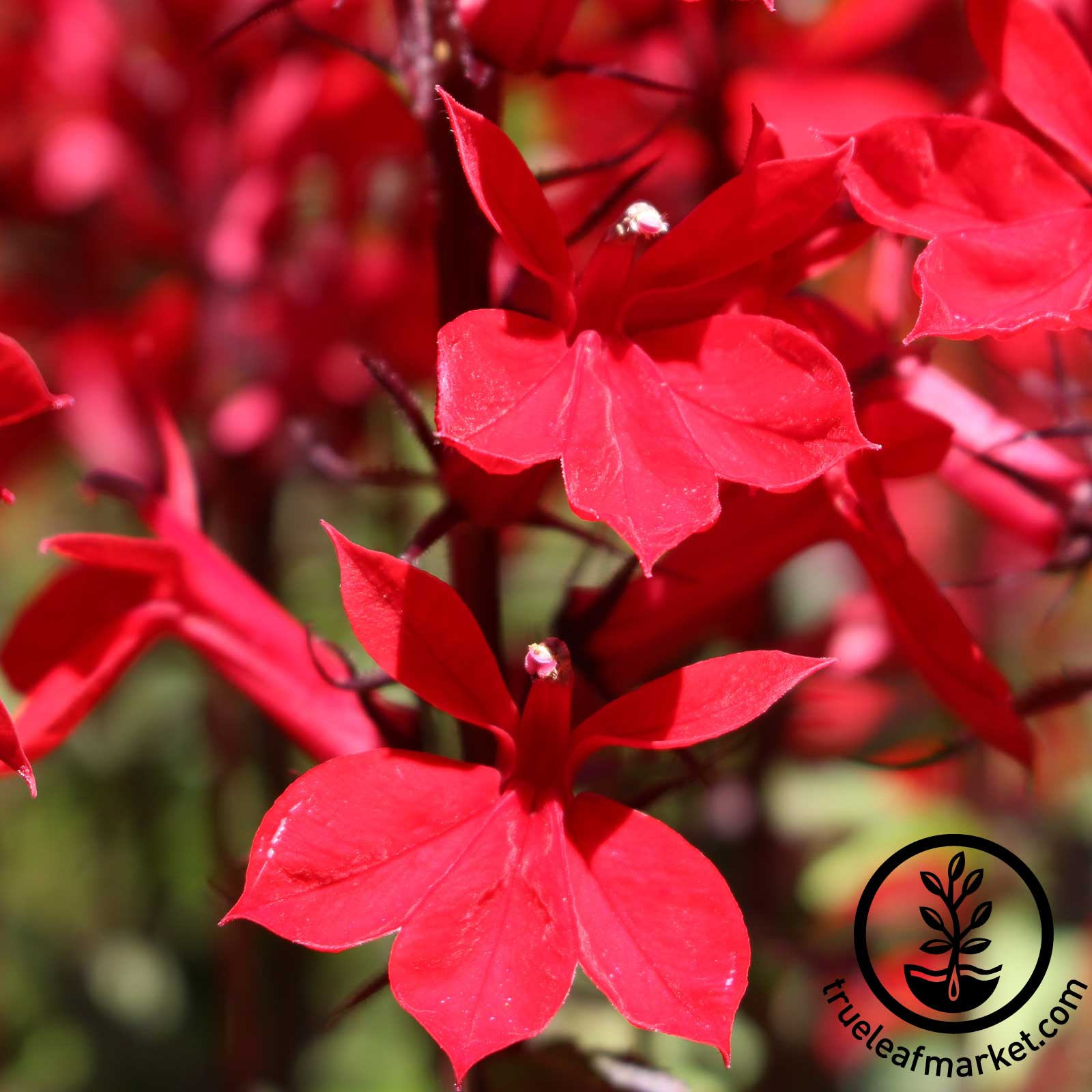 Lobelia - Vulcan Red