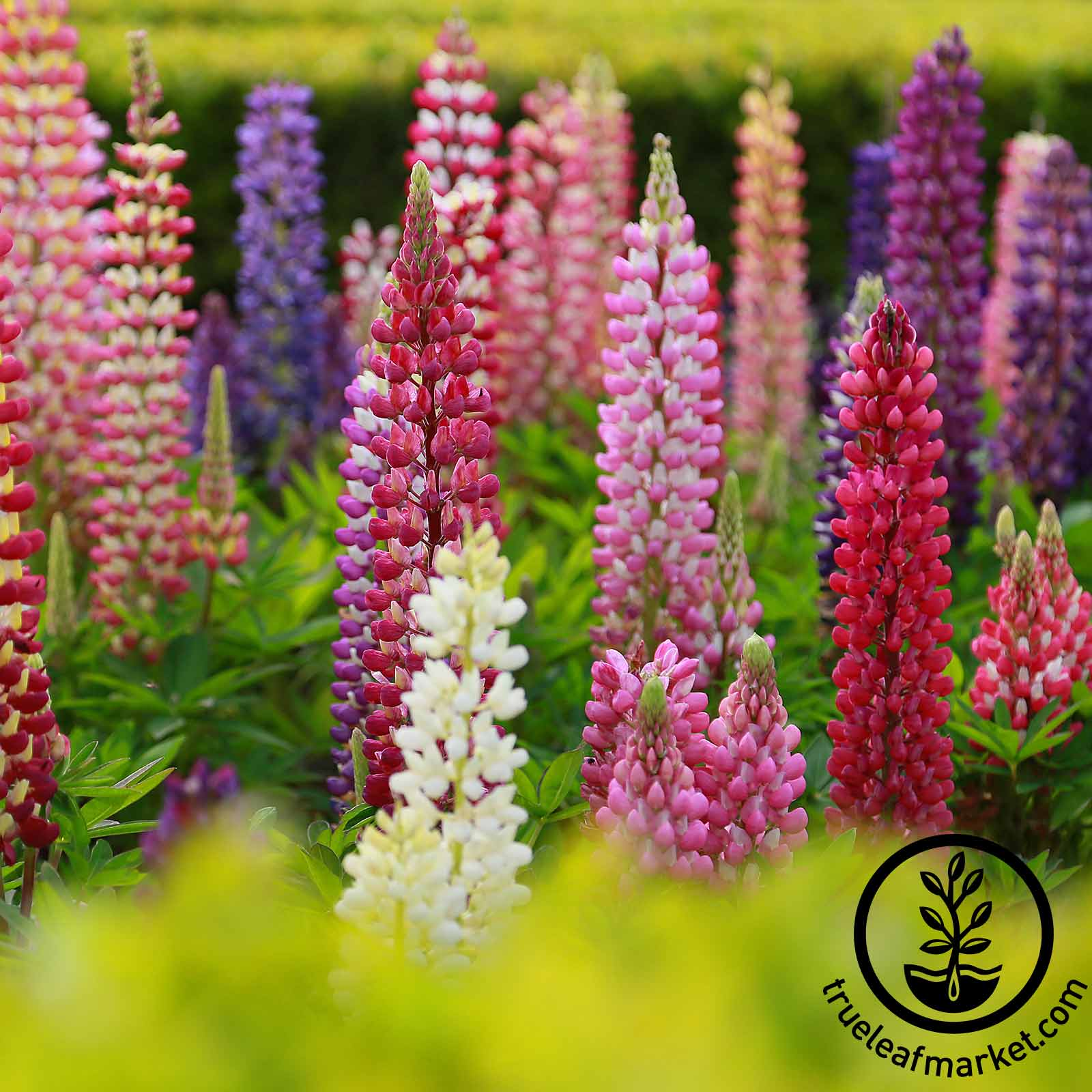 Lupine - Russell Strain Mixture