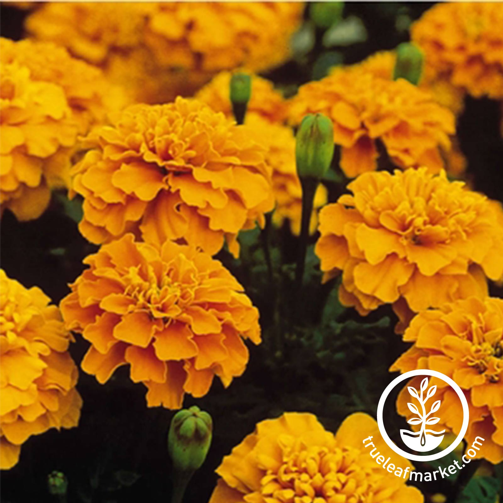 Marigold Bonanza Series Orange Seed