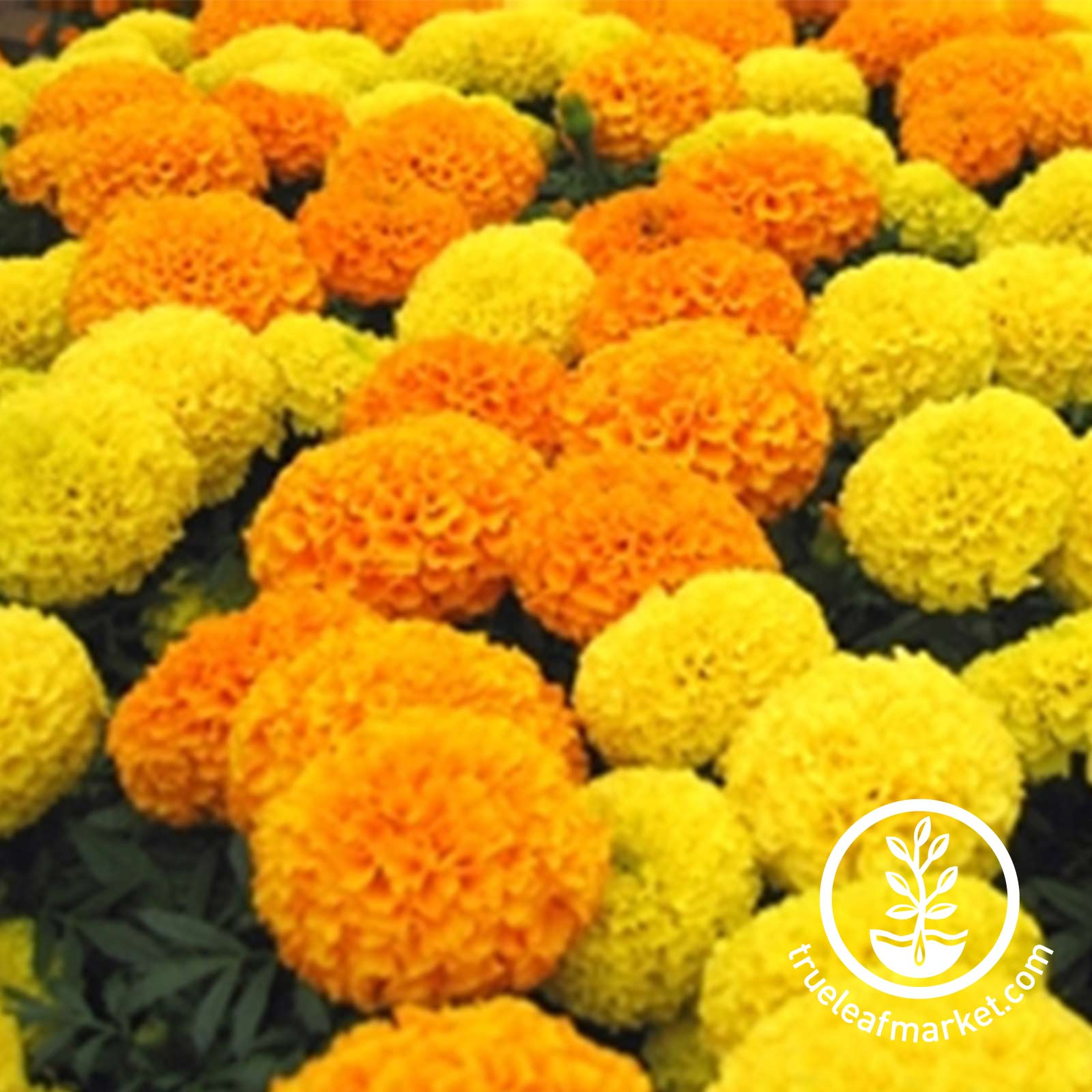 Marigold Discovery Series Mix Seed