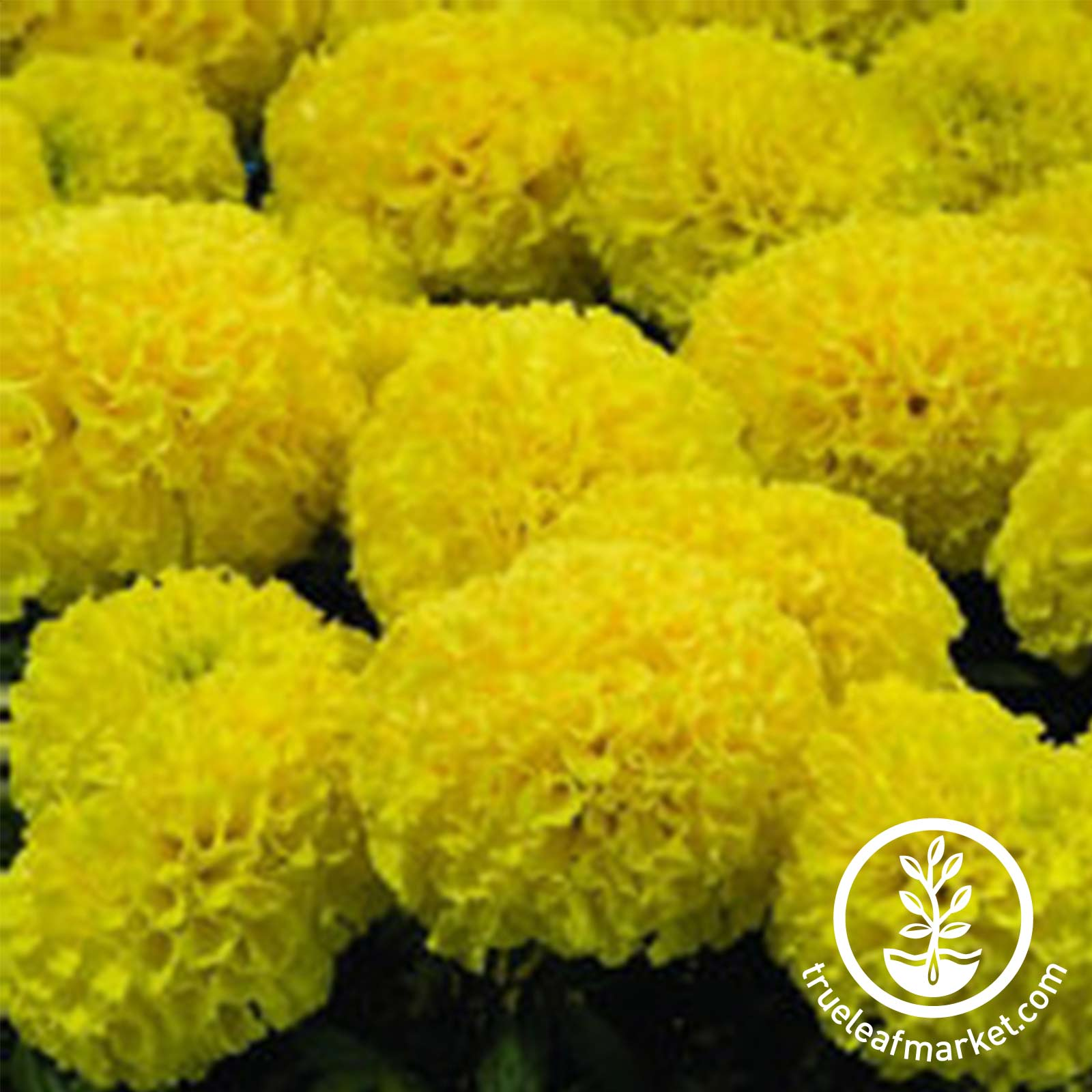 Marigold Discovery Series Yellow Seed