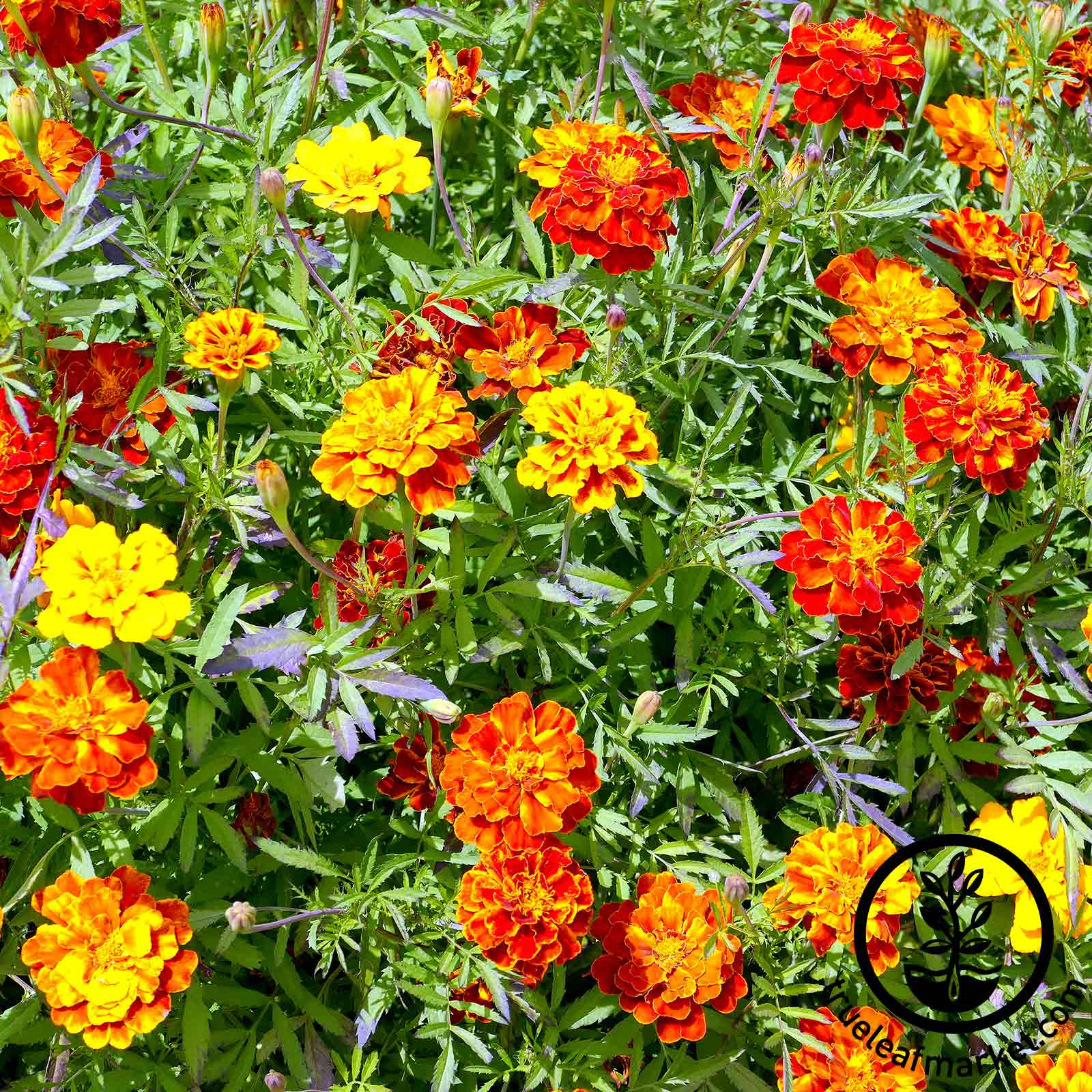 Marigold Hero Series Mix Seed
