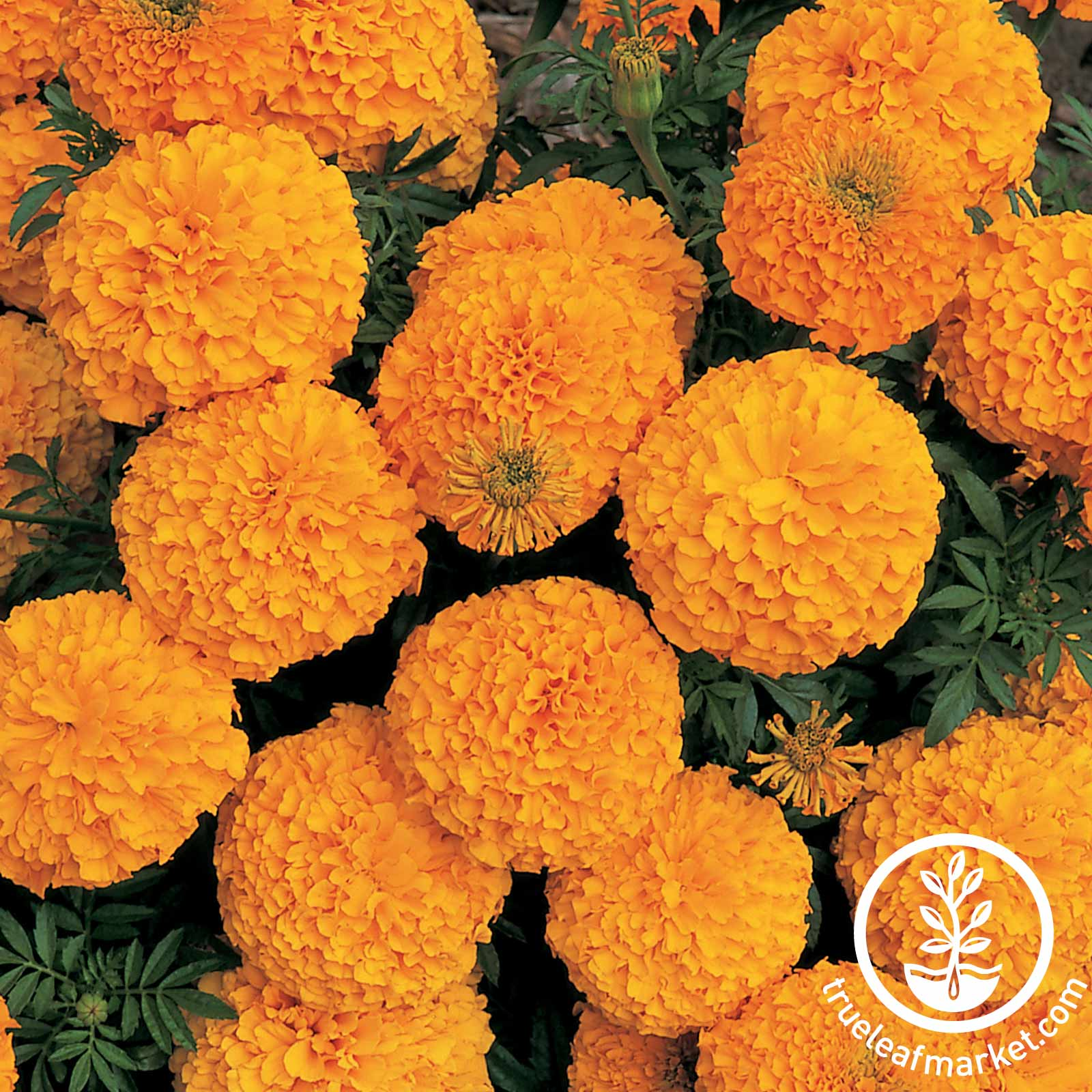 Marigold Inca II Series Orange Seed