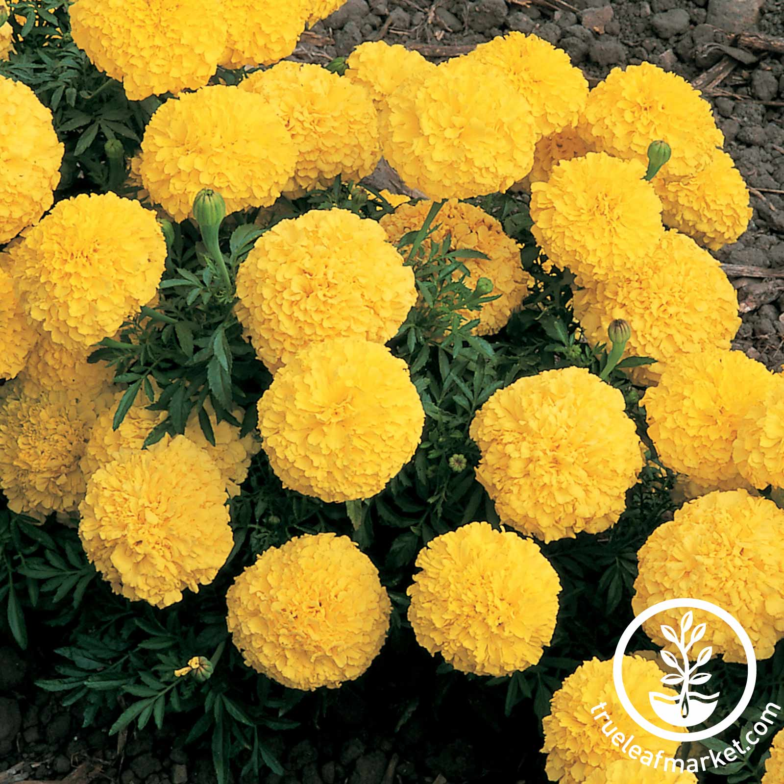 Marigold - Inca II Series - Yellow